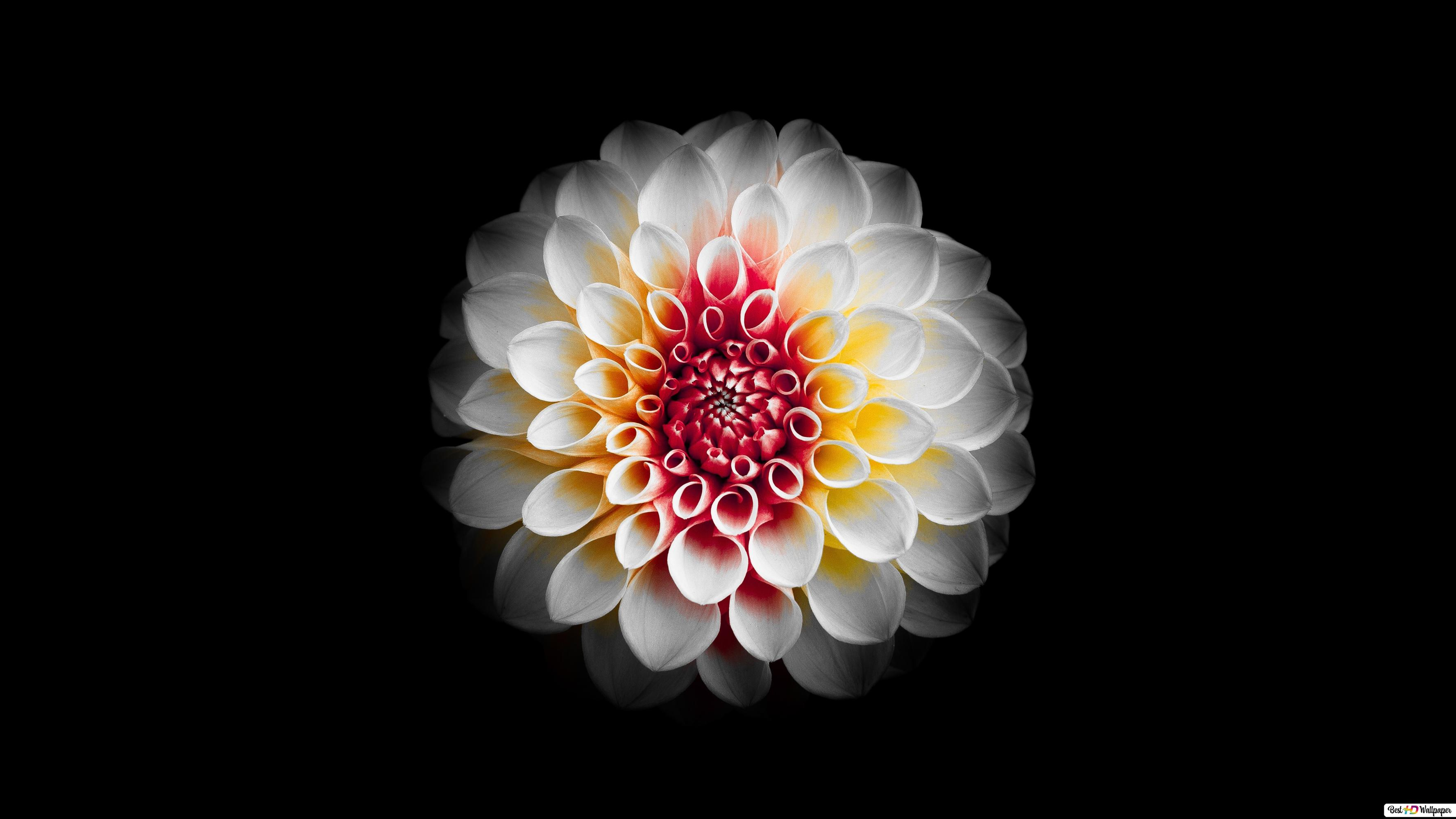 A Beautiful White Dahlia Flower And Black Background Hd Wallpaper Download