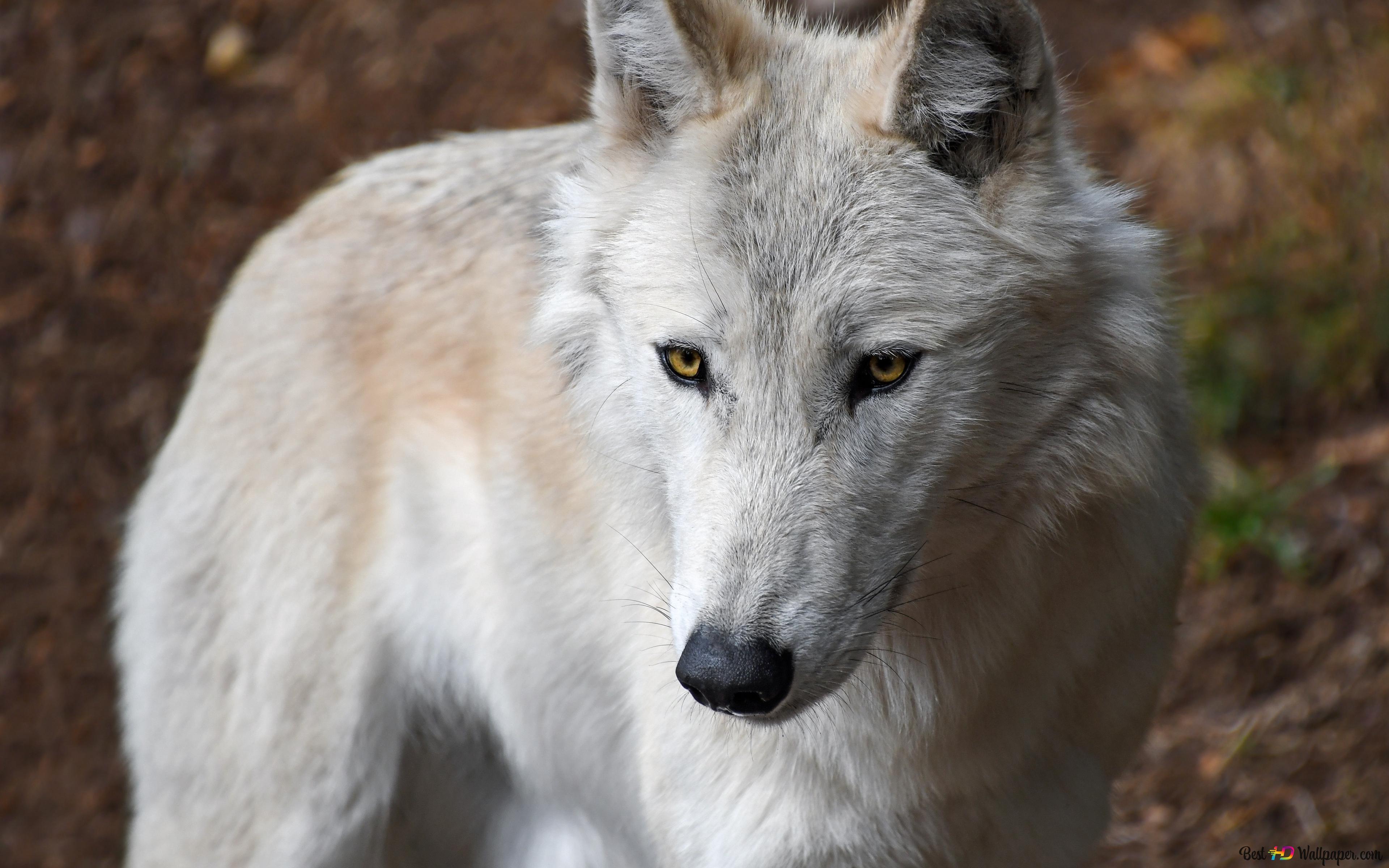 A white wolf HD wallpaper download