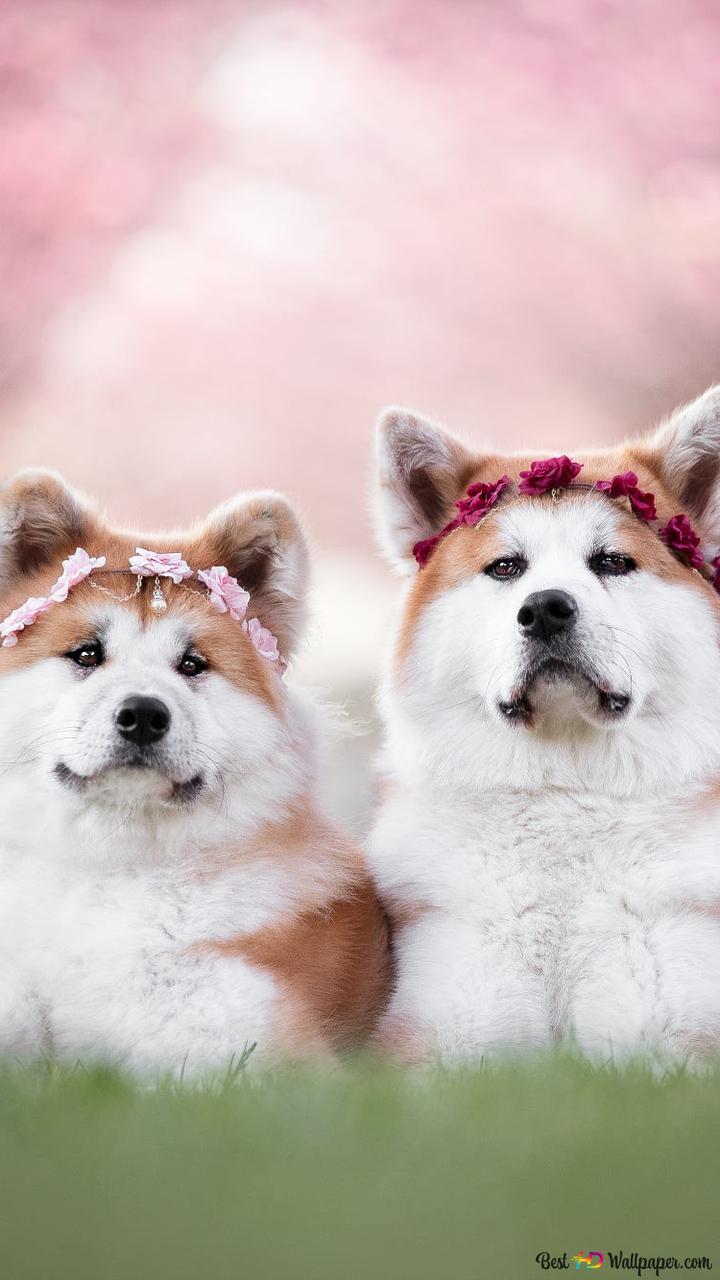 akita dog wallpaper 720x1280 54747 184