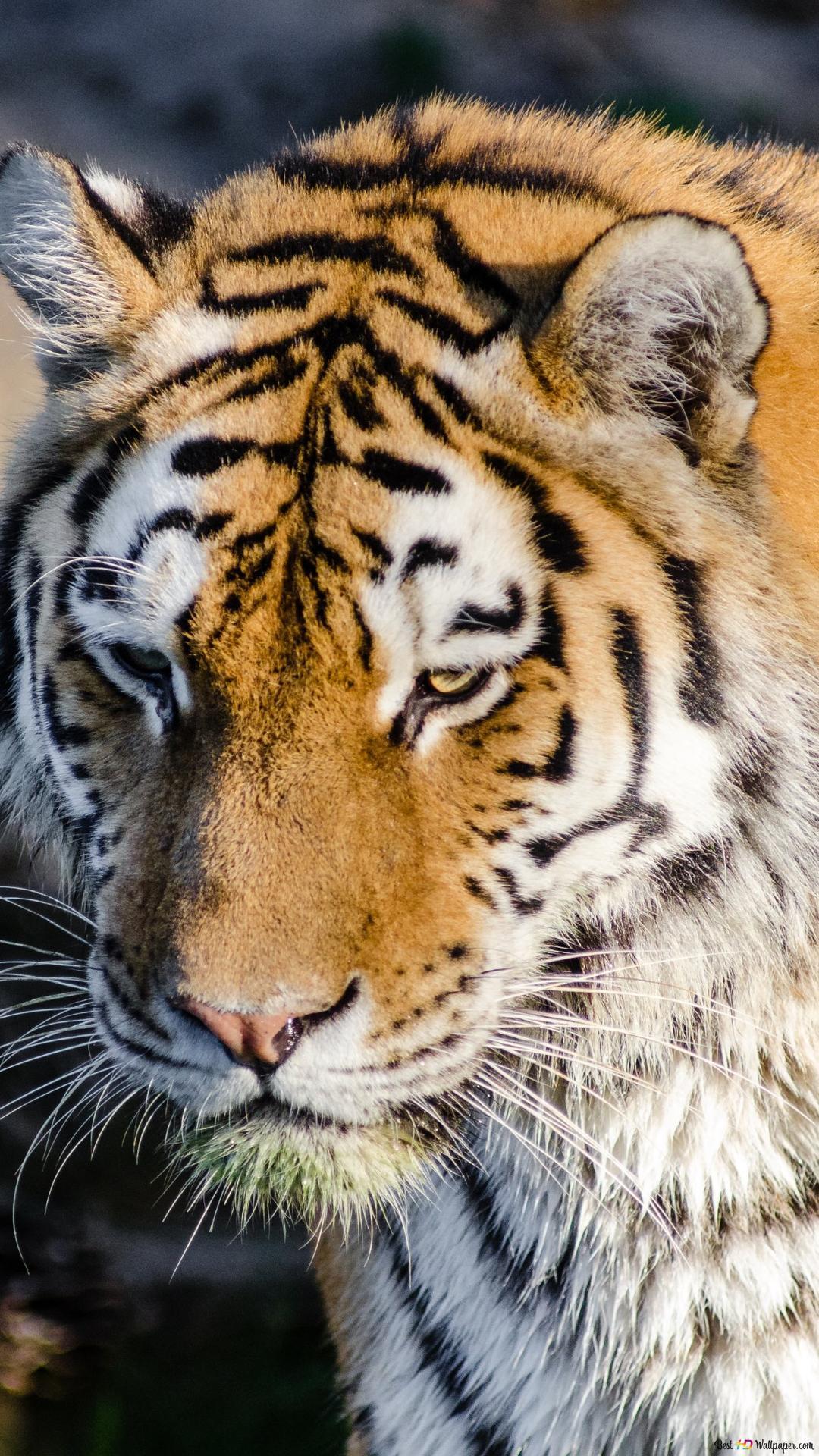 Animal Tiger Hd Wallpaper Download
