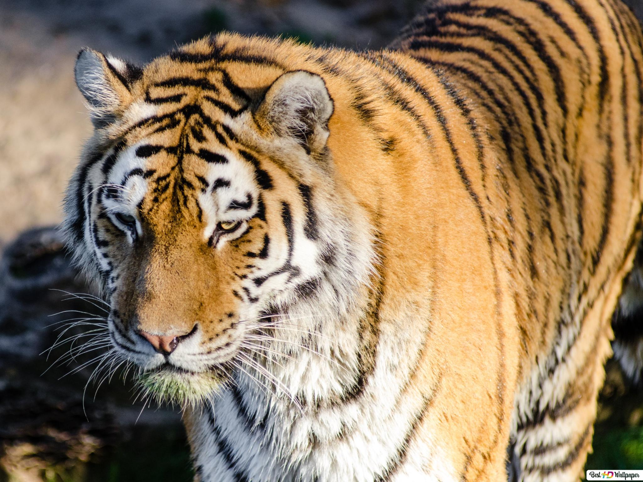 Animal Tiger Hd Wallpaper Download