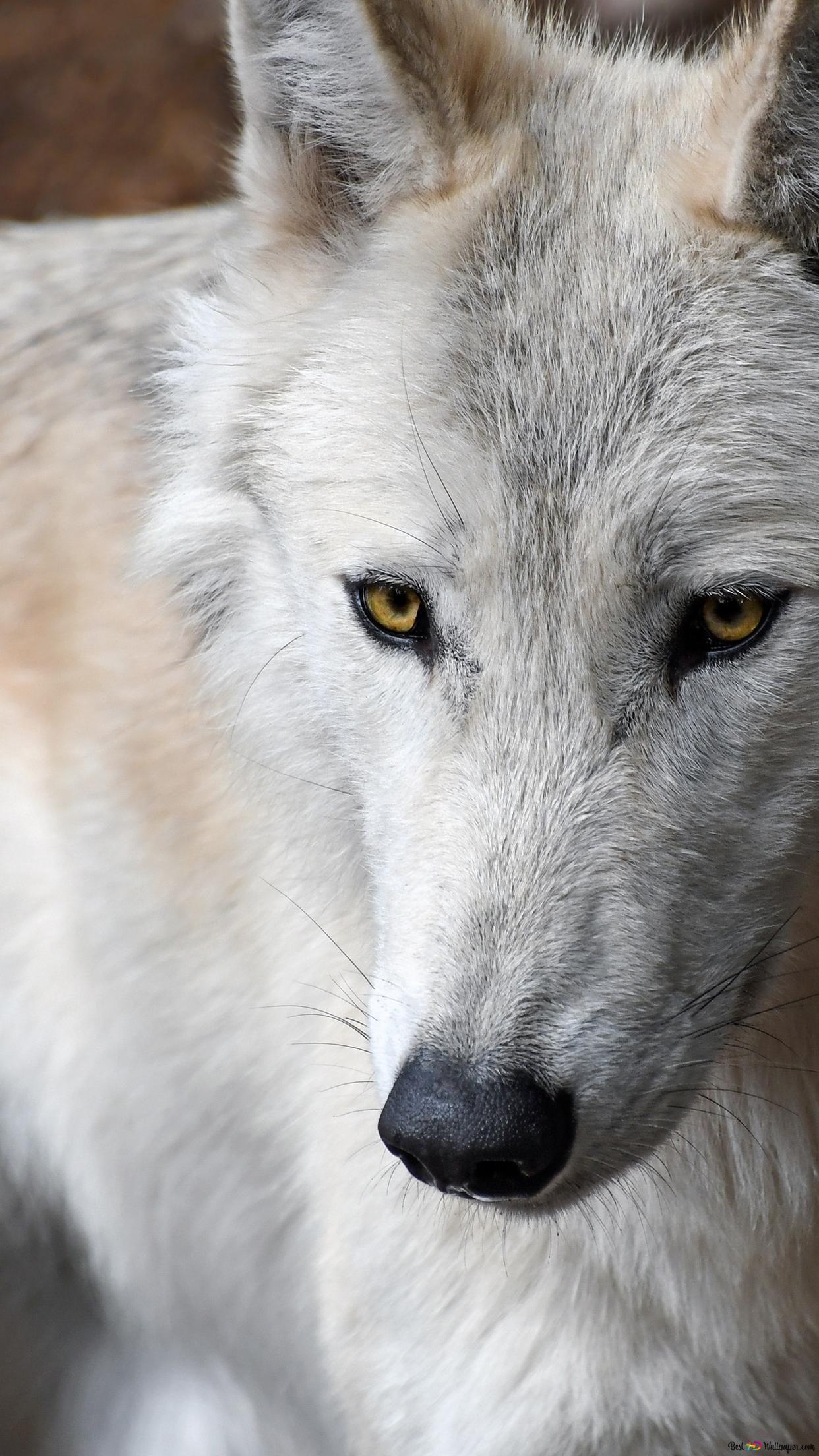 白いオオカミ Hd壁紙のダウンロード