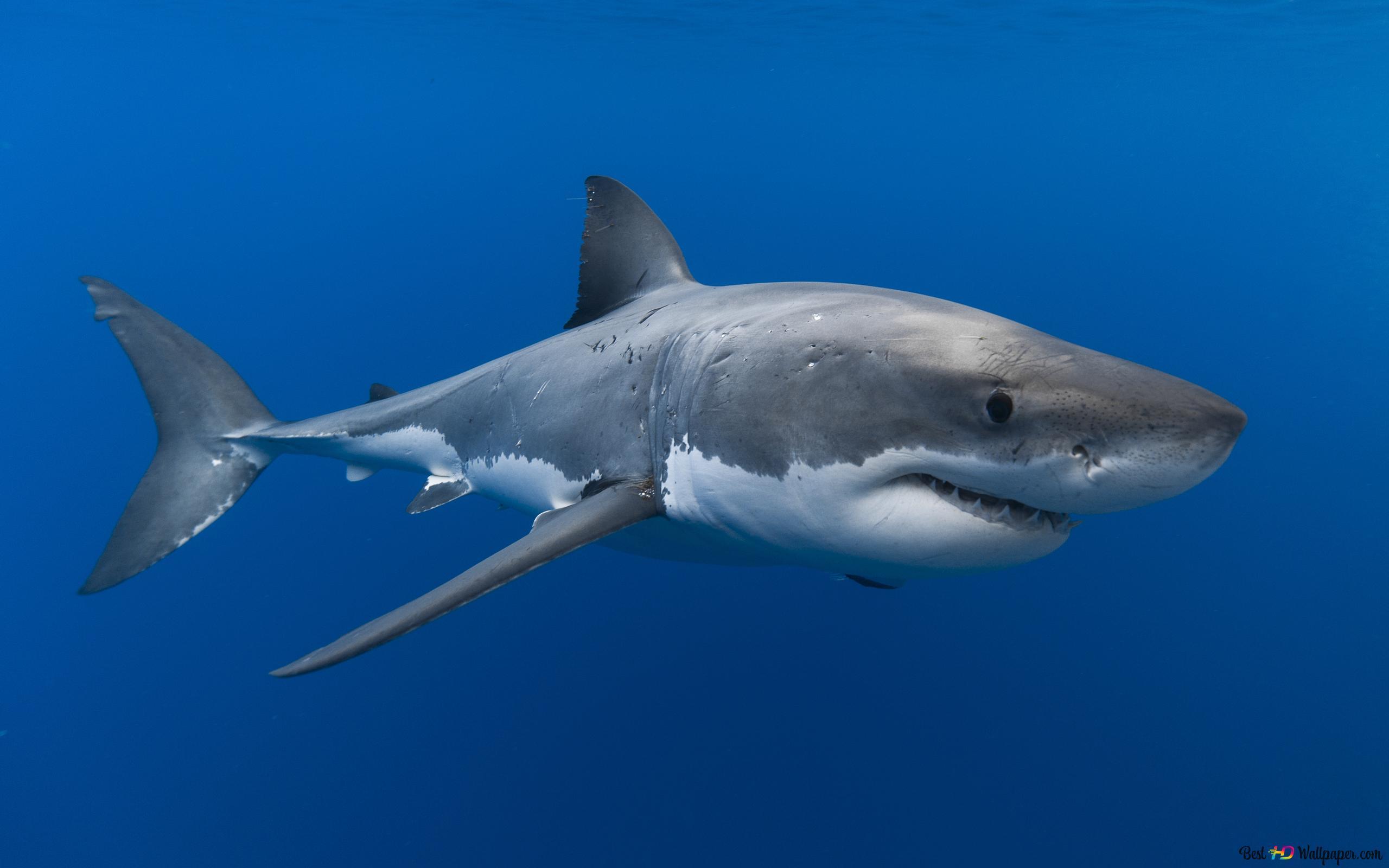 白いサメ Hd壁紙のダウンロード