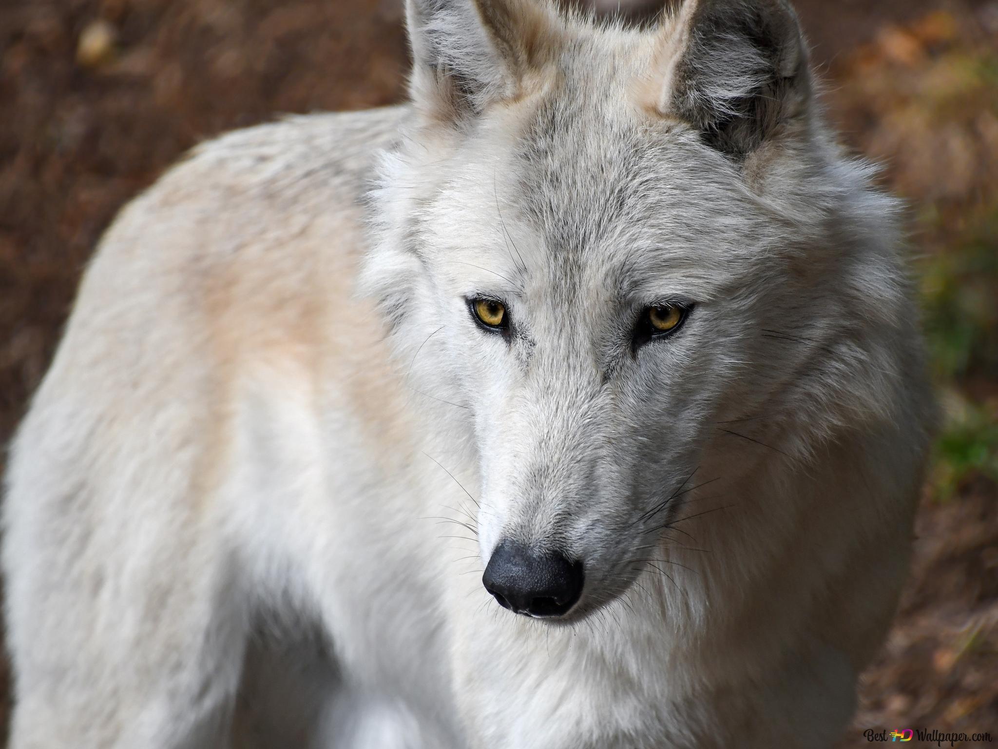 白色的狼高清壁紙下載