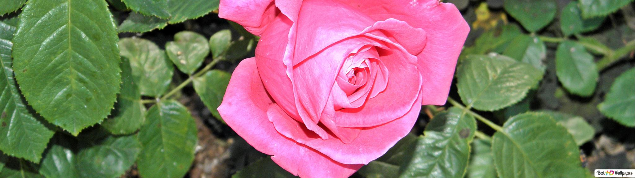 Beautiful Pink Rose Flowers Images Hd Bestholidaydeals Co
