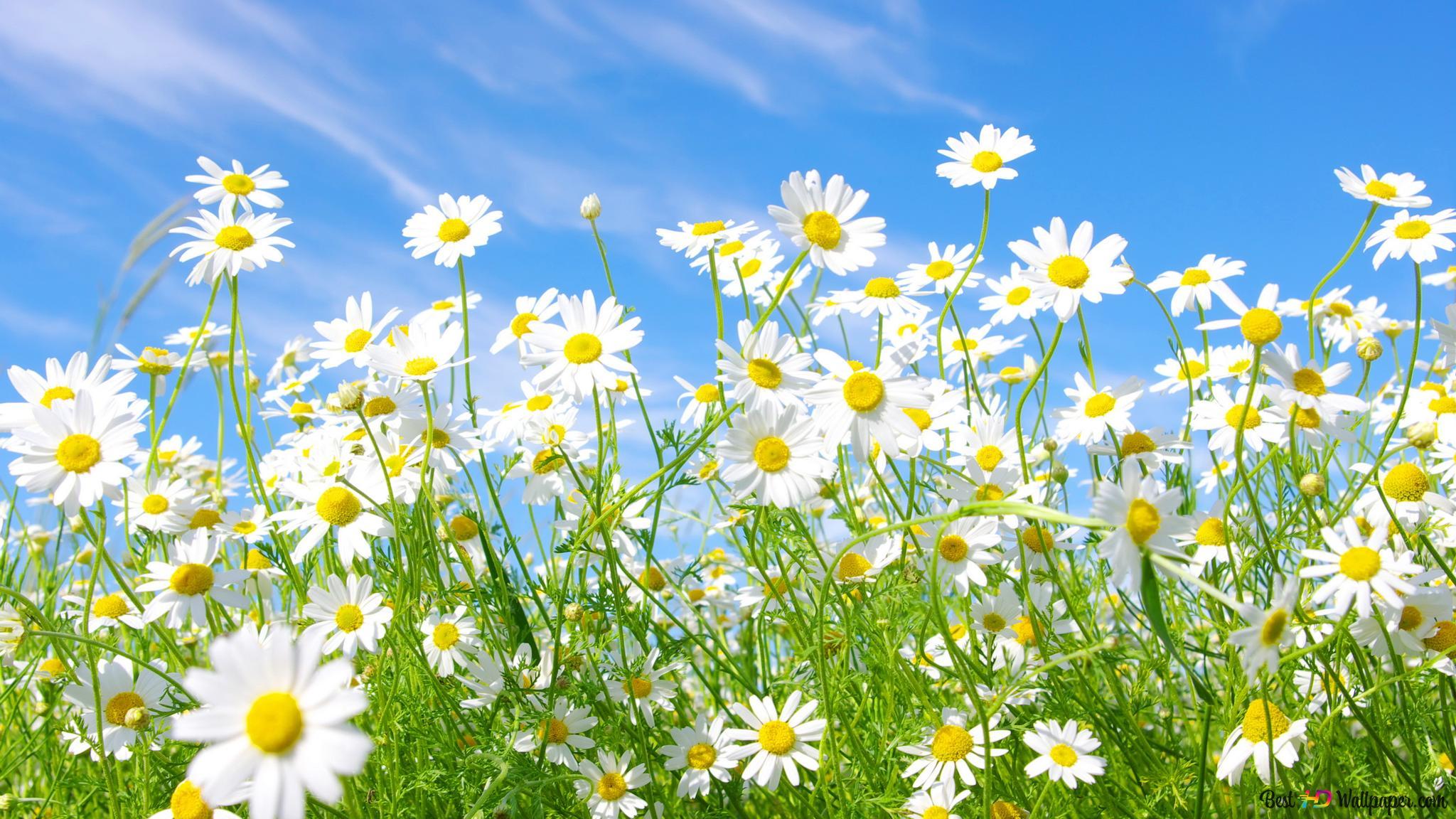 Belle Fleur Blanche Daisy Hd Fond Décran Télécharger
