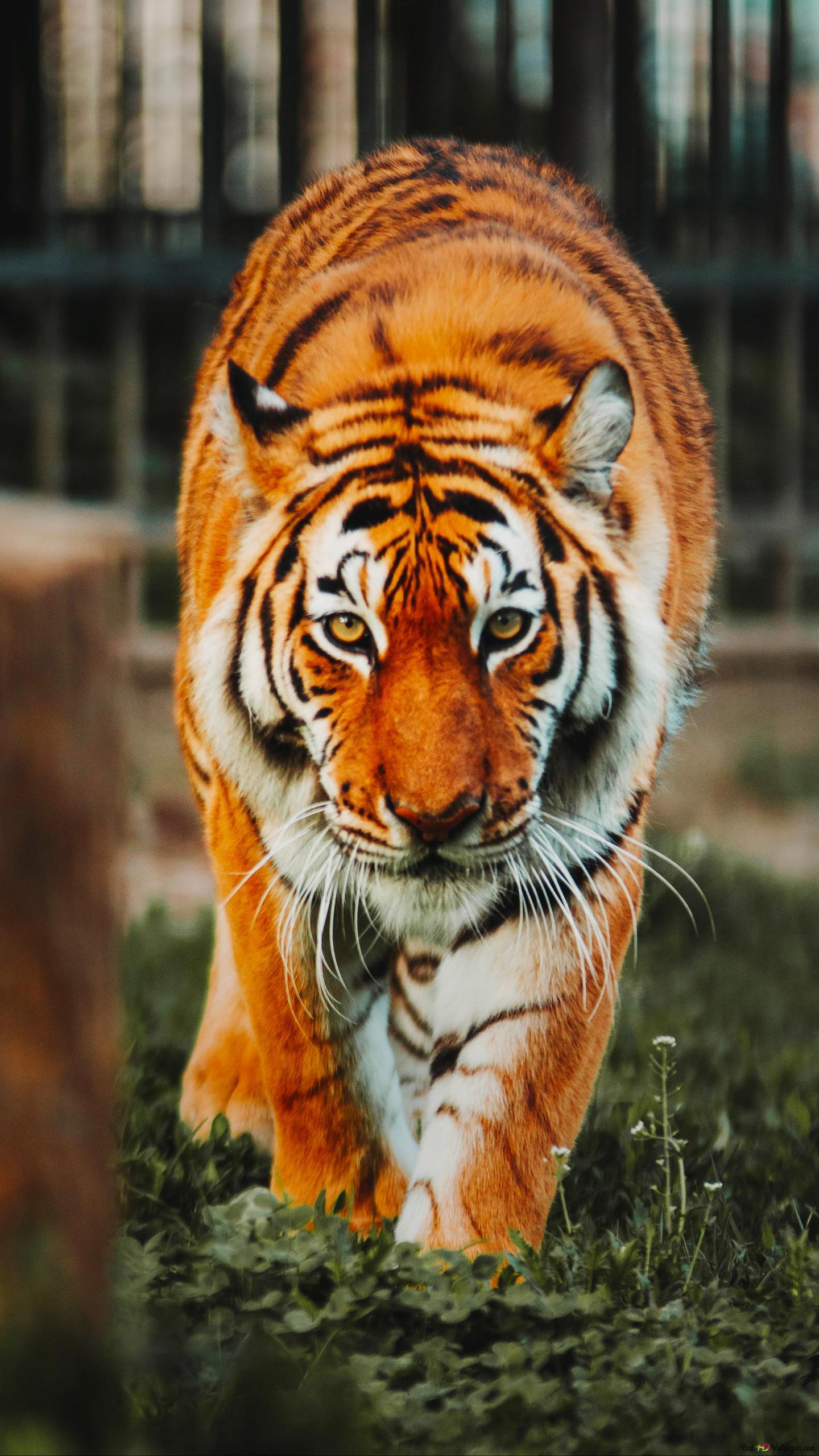 Bengal Tiger Hd Wallpaper Download
