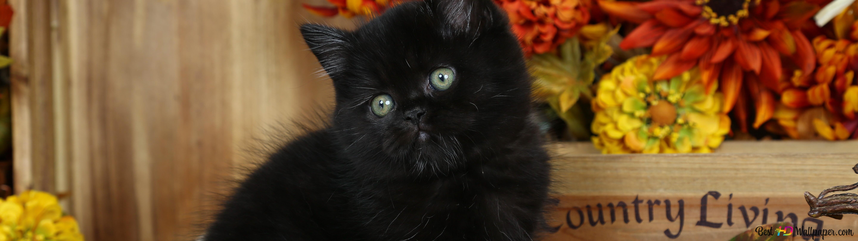 Black Cat Hd Wallpaper Download