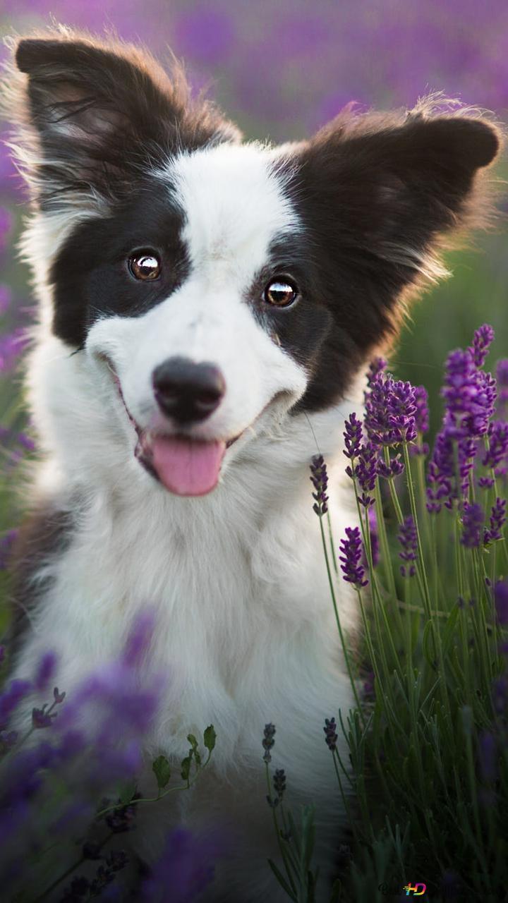 border collie dog wallpaper 720x1280 54734 184