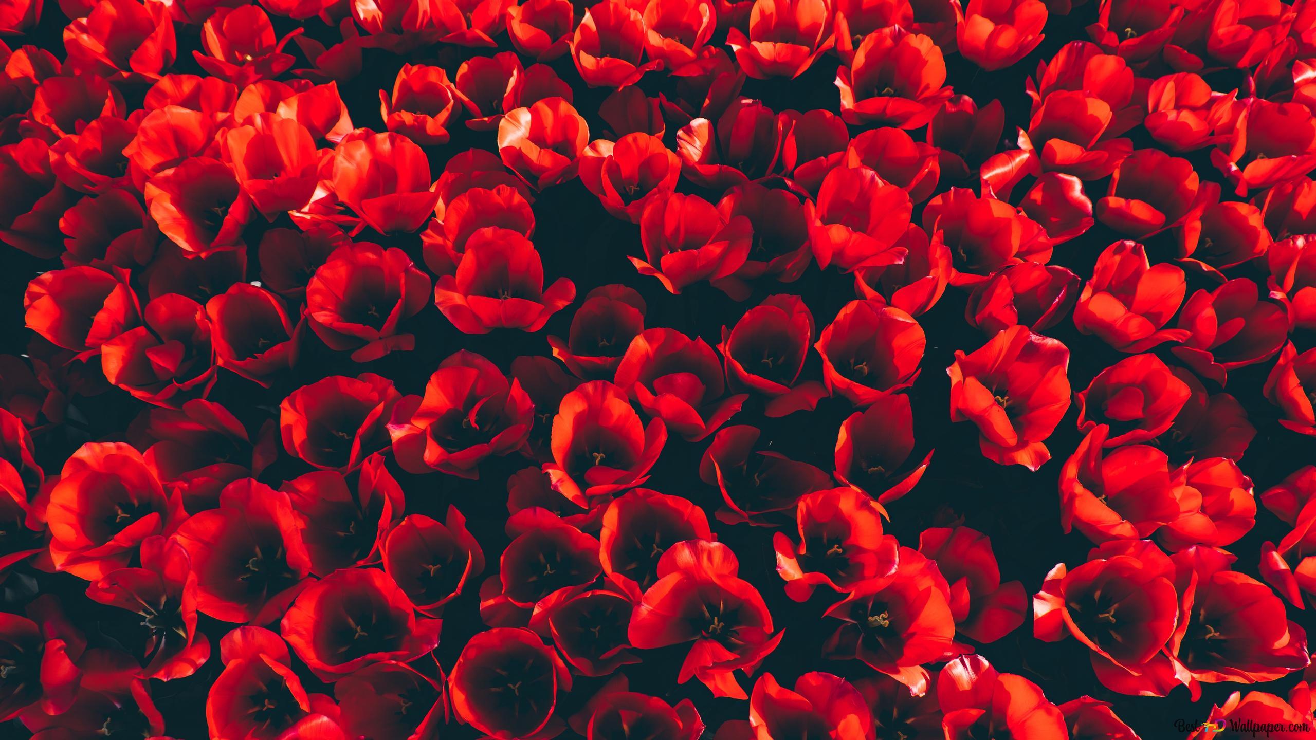 Buisson De Tulipes Rouges Hd Fond Décran Télécharger