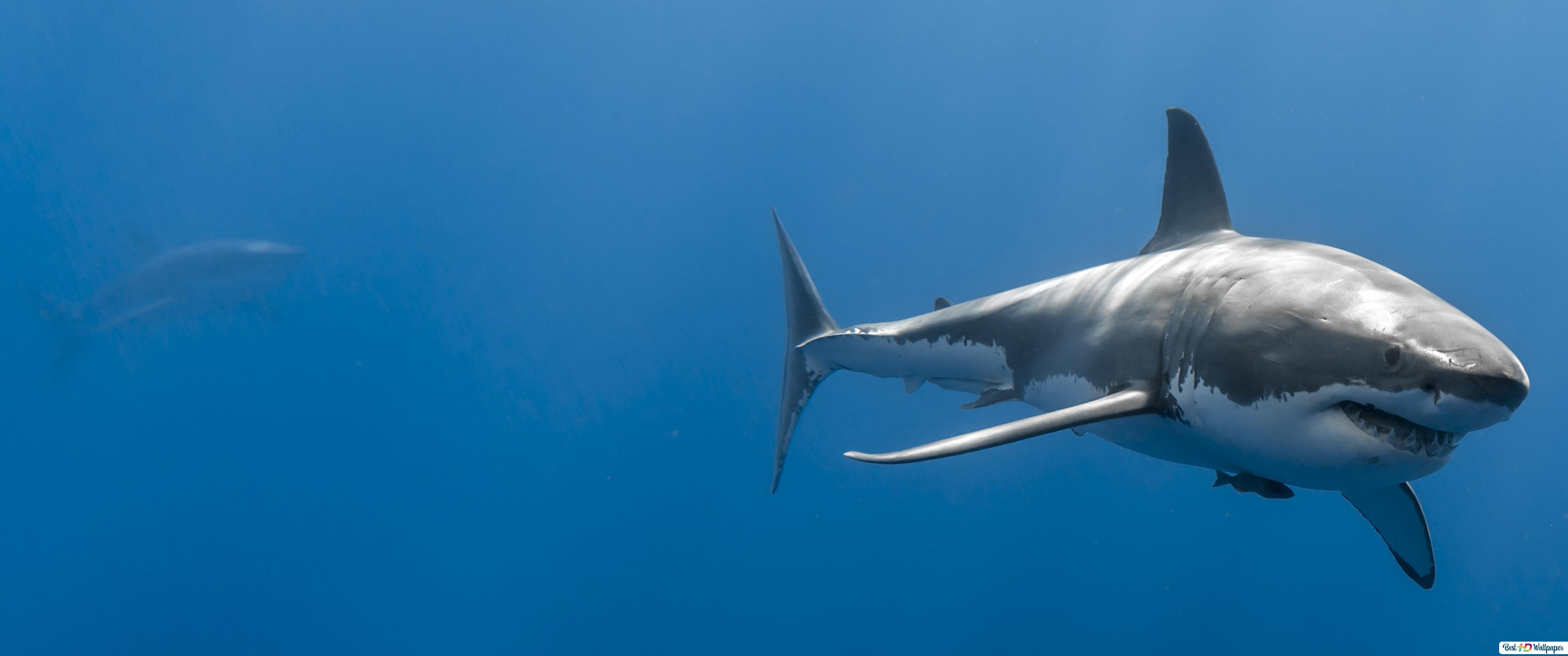 Bull shark wallpaper