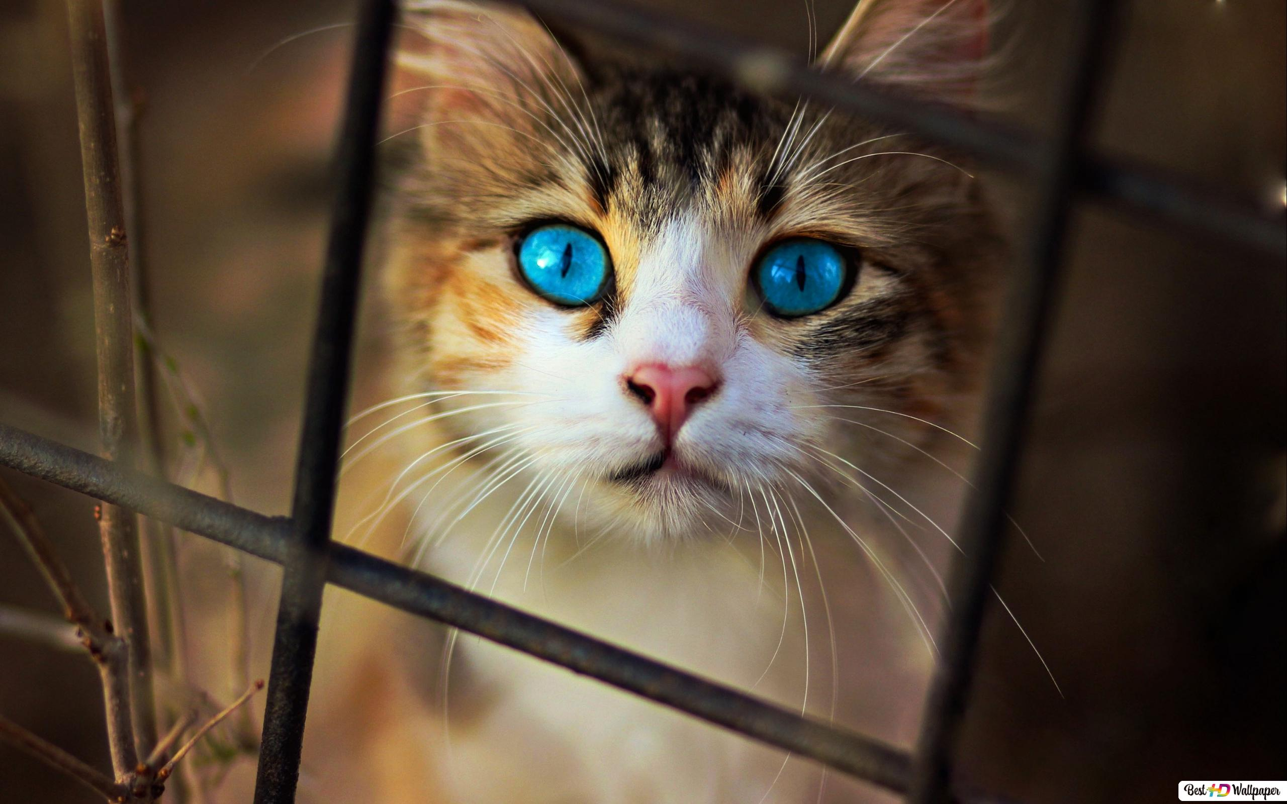 ブルーアイ 猫を見つめて Hd壁紙のダウンロード