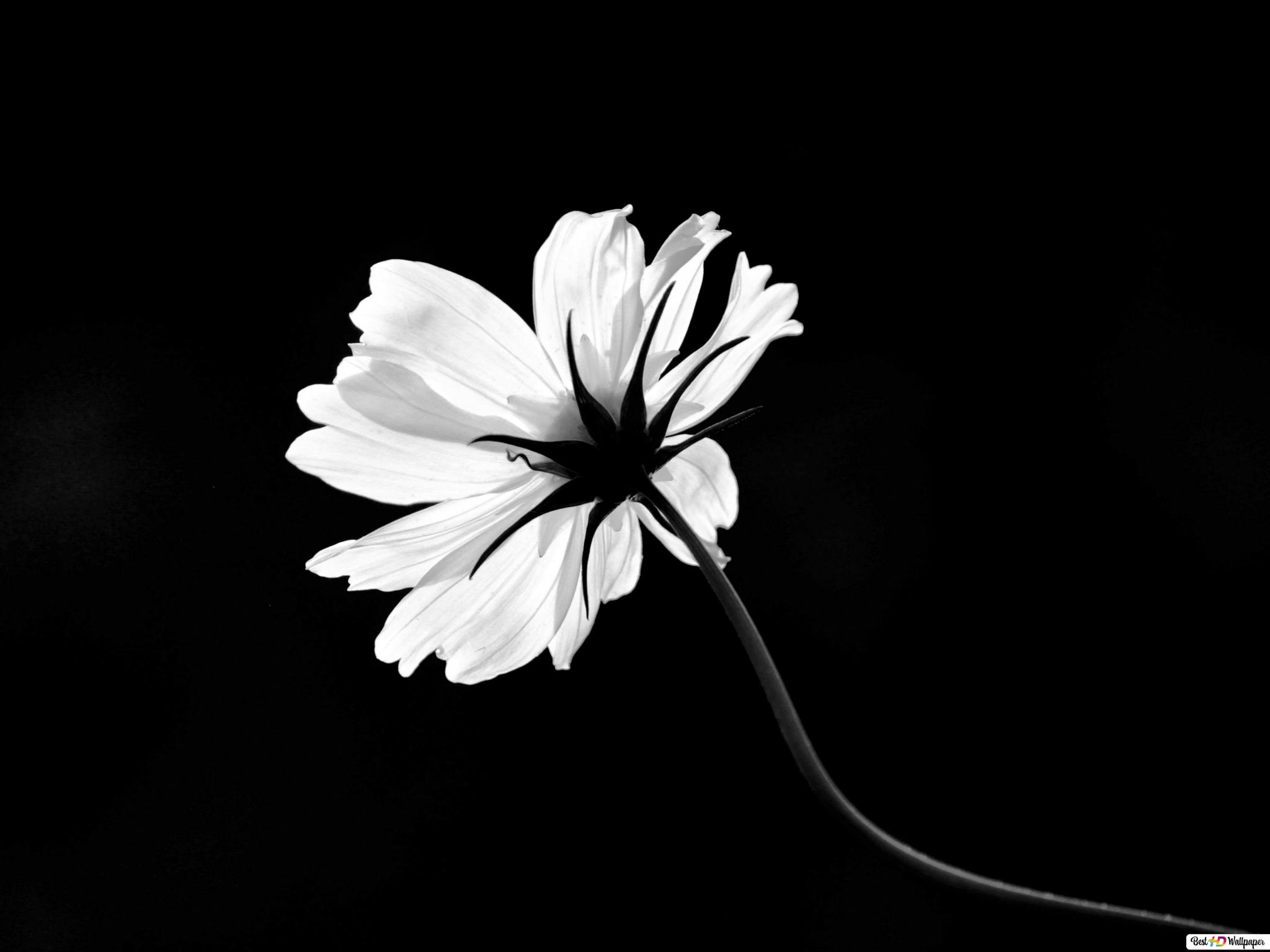 Bw Flower Single Hd Wallpaper Download