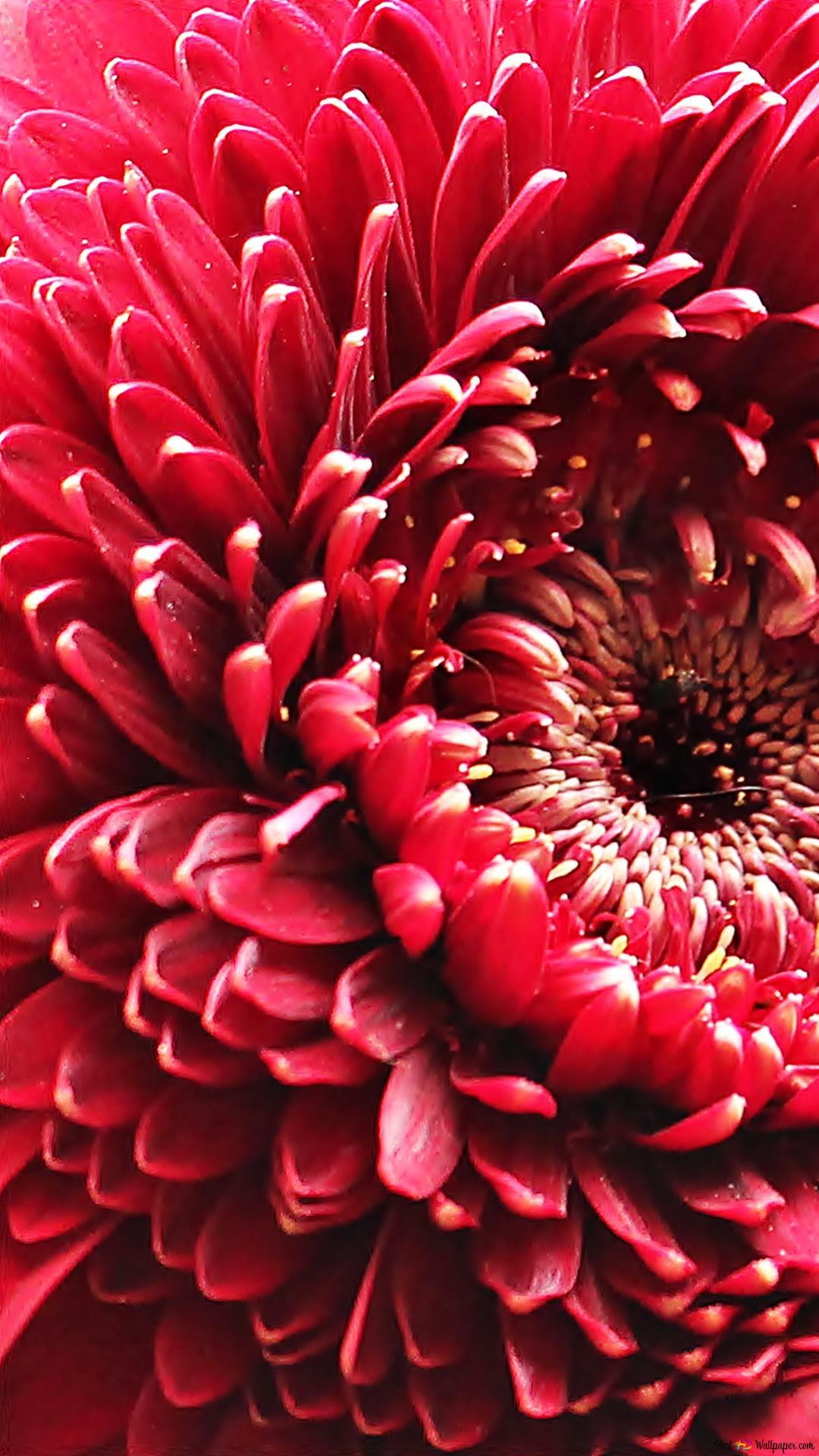 赤いガーベラの花 Hd壁紙のダウンロード