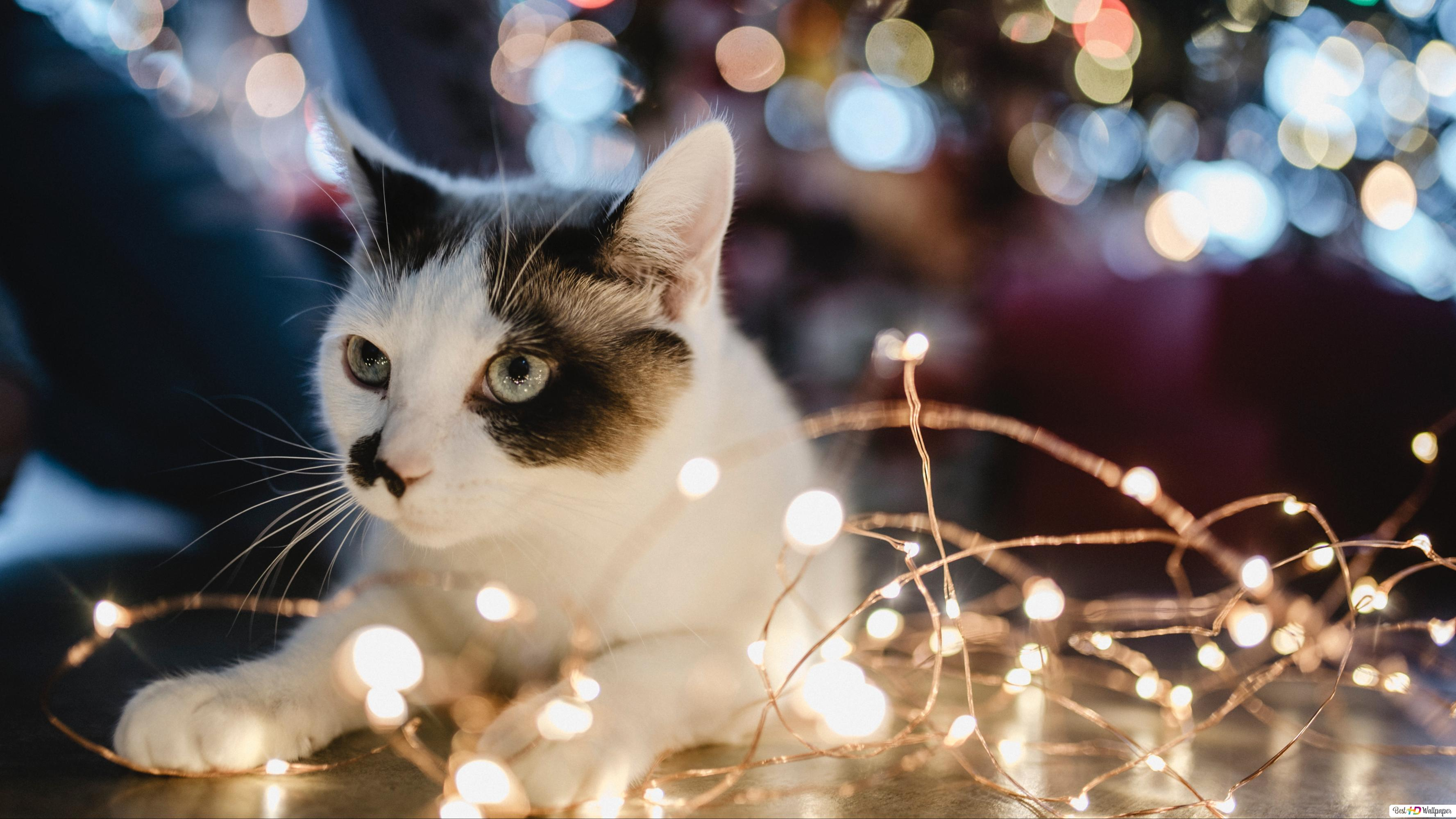 Christmas Cat Hd Wallpaper Download