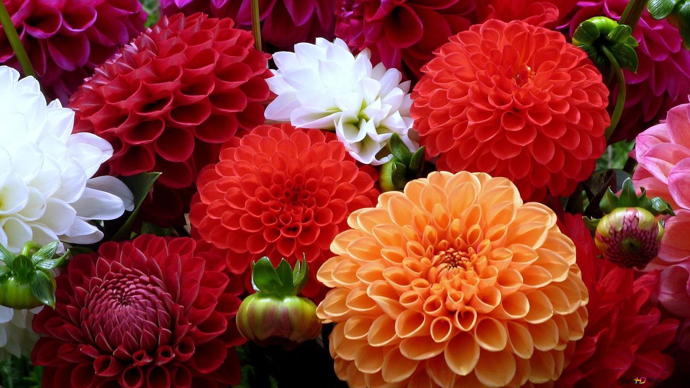 Colorful Dahlia Bunga Unduhan Wallpaper Hd