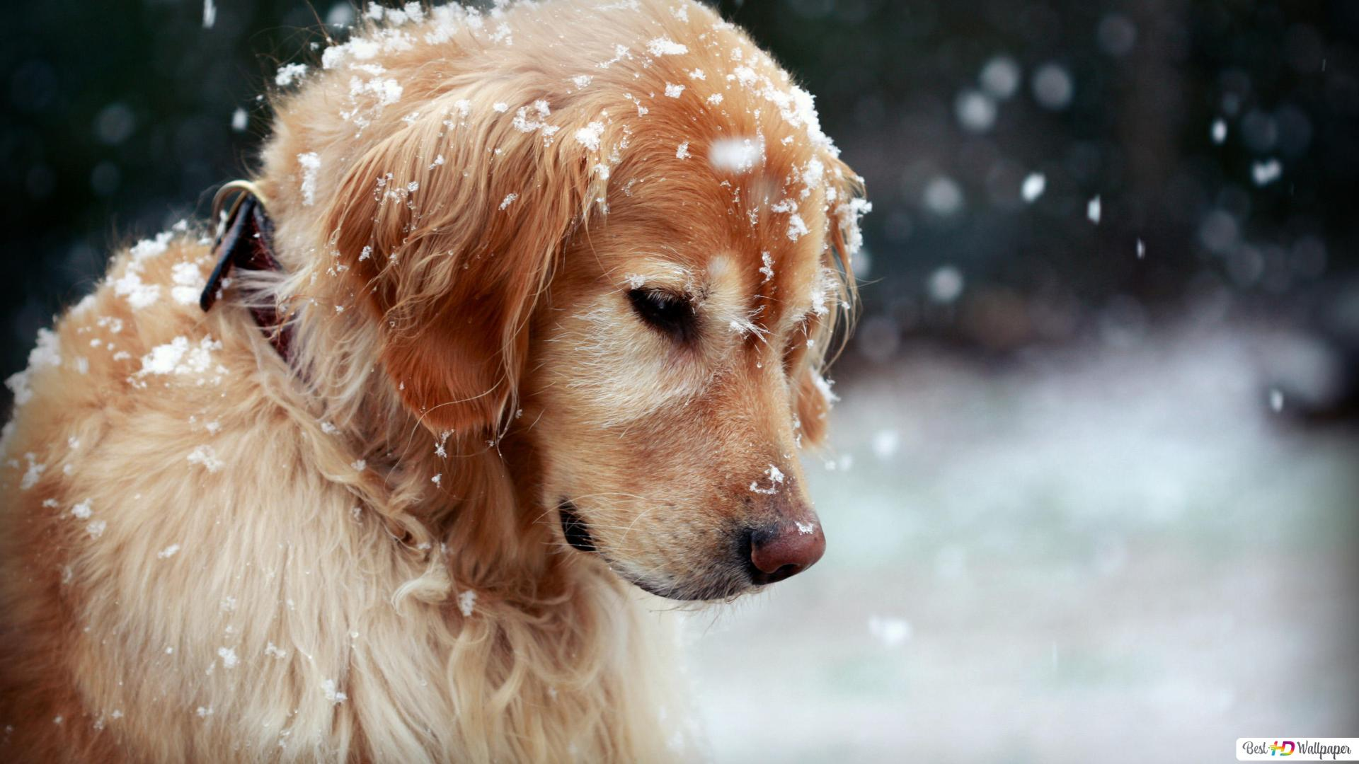 Cute Dog In The Snowfall Hd Wallpaper Download