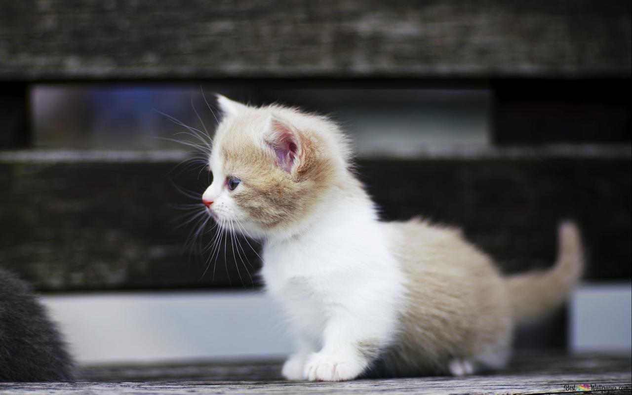 Cute White Cat Hd Wallpaper Download