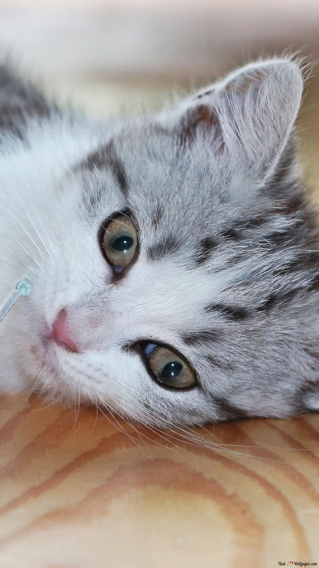 Cute White Kitty Hd Wallpaper Download
