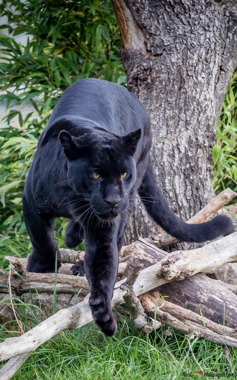 Czarna Pantera Przygotowuje Się Do Skoku Hd Tapety Do Pobrania