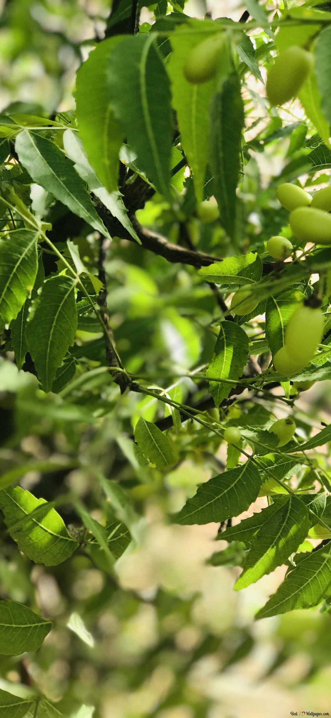 daun dengan buah buahan wallpaper 1125x2436 54879 215