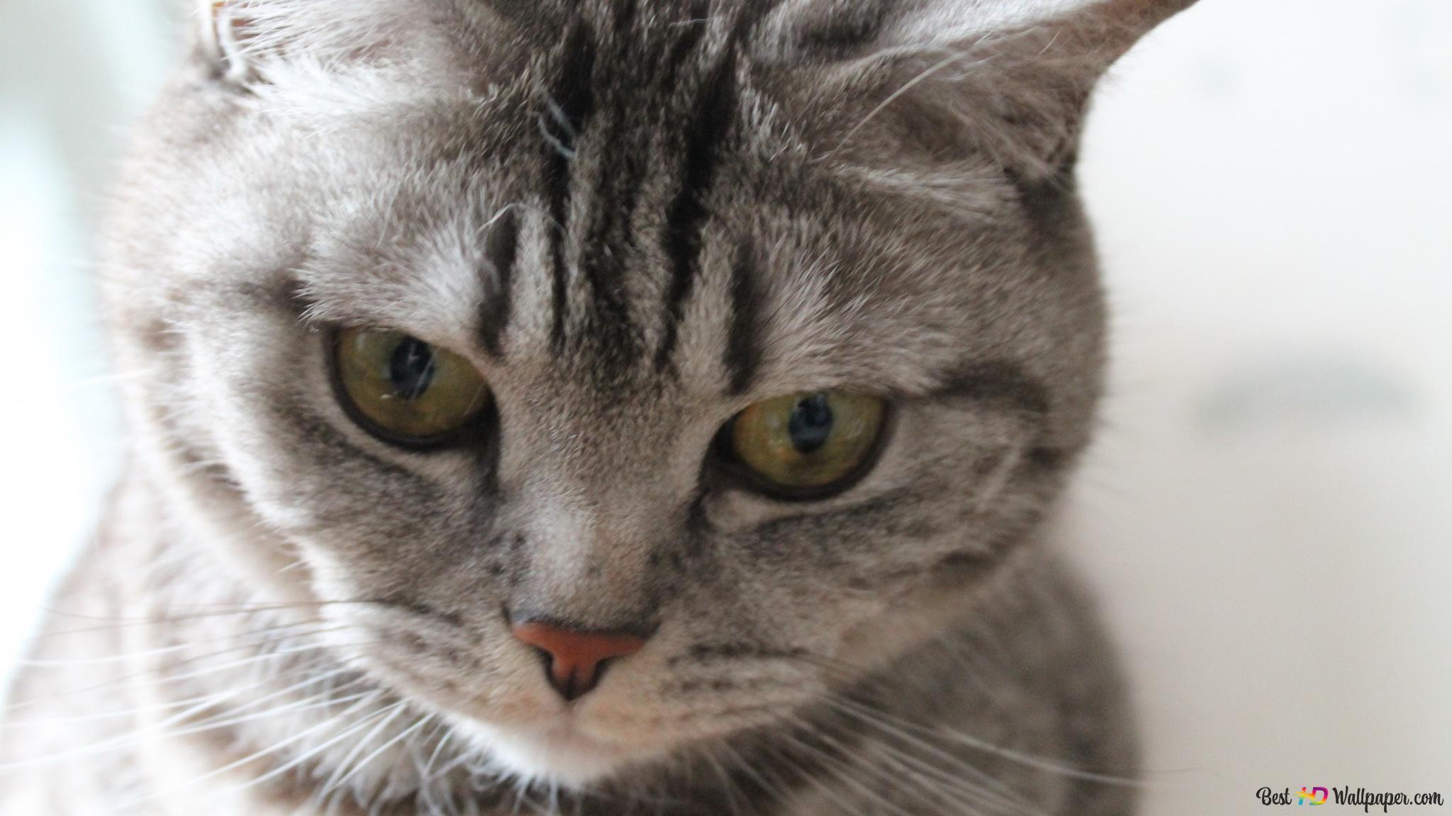 動物 猫 Hd壁紙のダウンロード