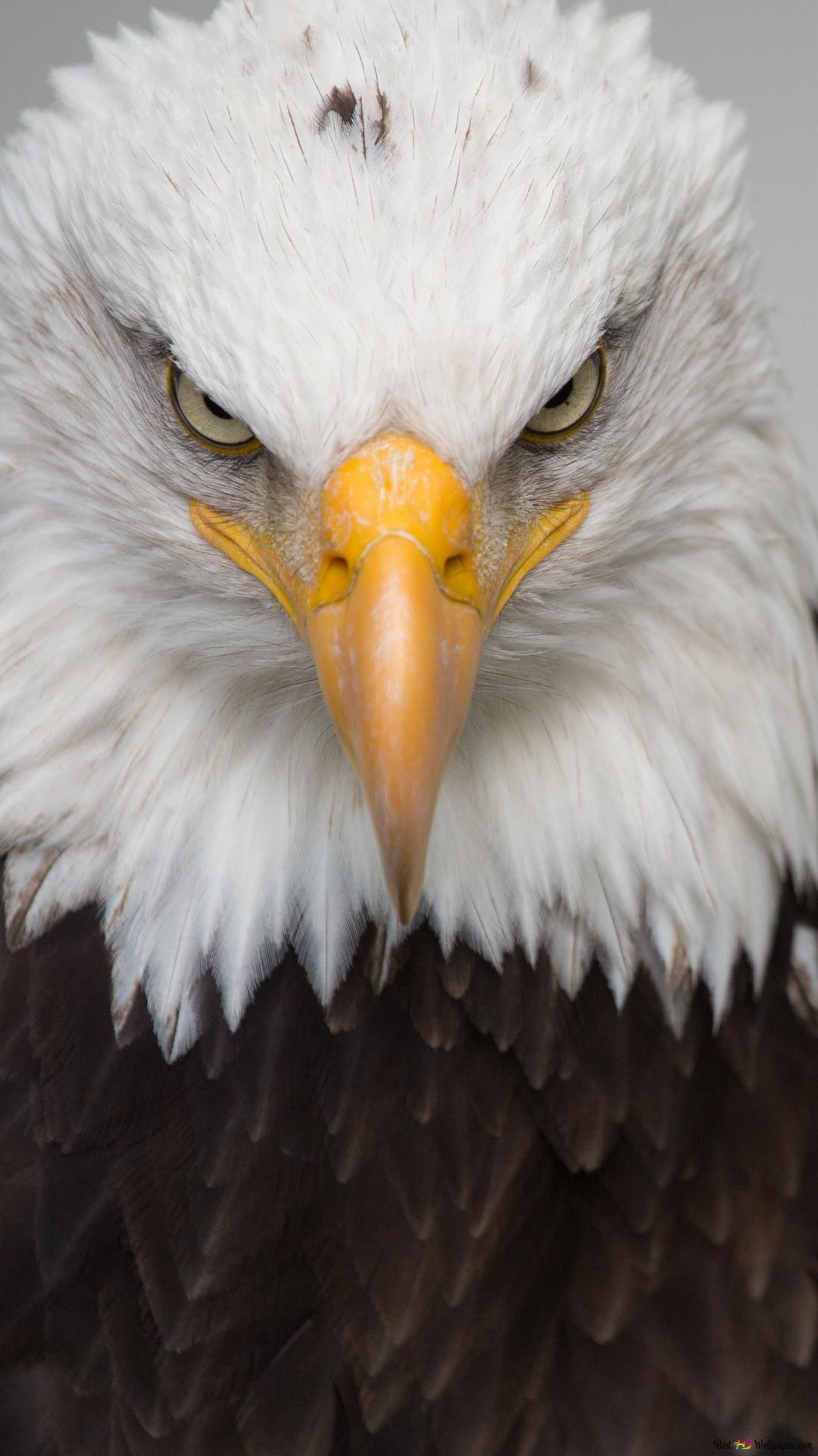 Fierce Look Bald Eagle Hd Wallpaper Download
