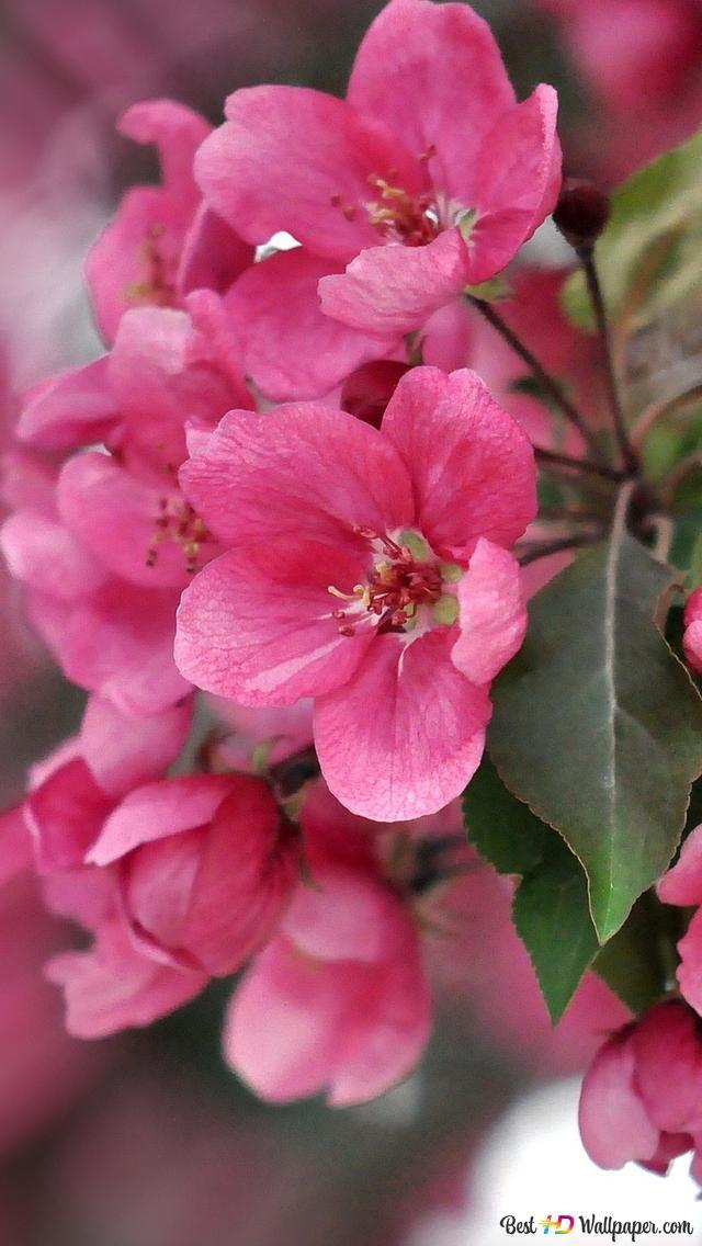Fiore Rosa Da Vicino Download Di Sfondi Hd