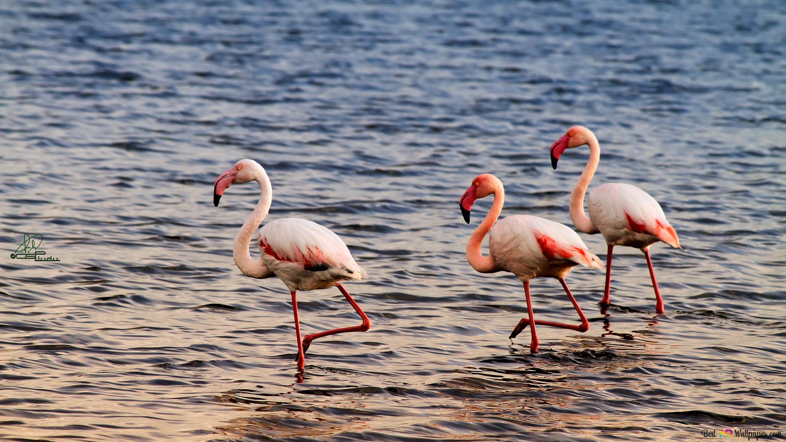 Flamingo Hd Wallpaper Download