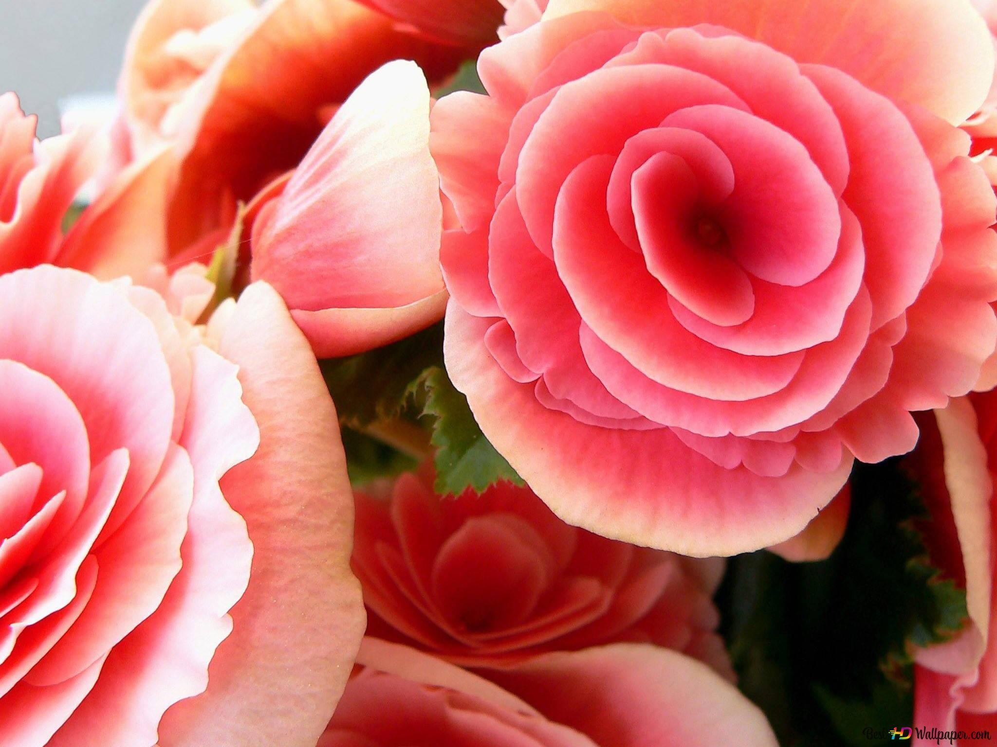 Fleur Rose Rose Hd Fond D Ecran Telecharger