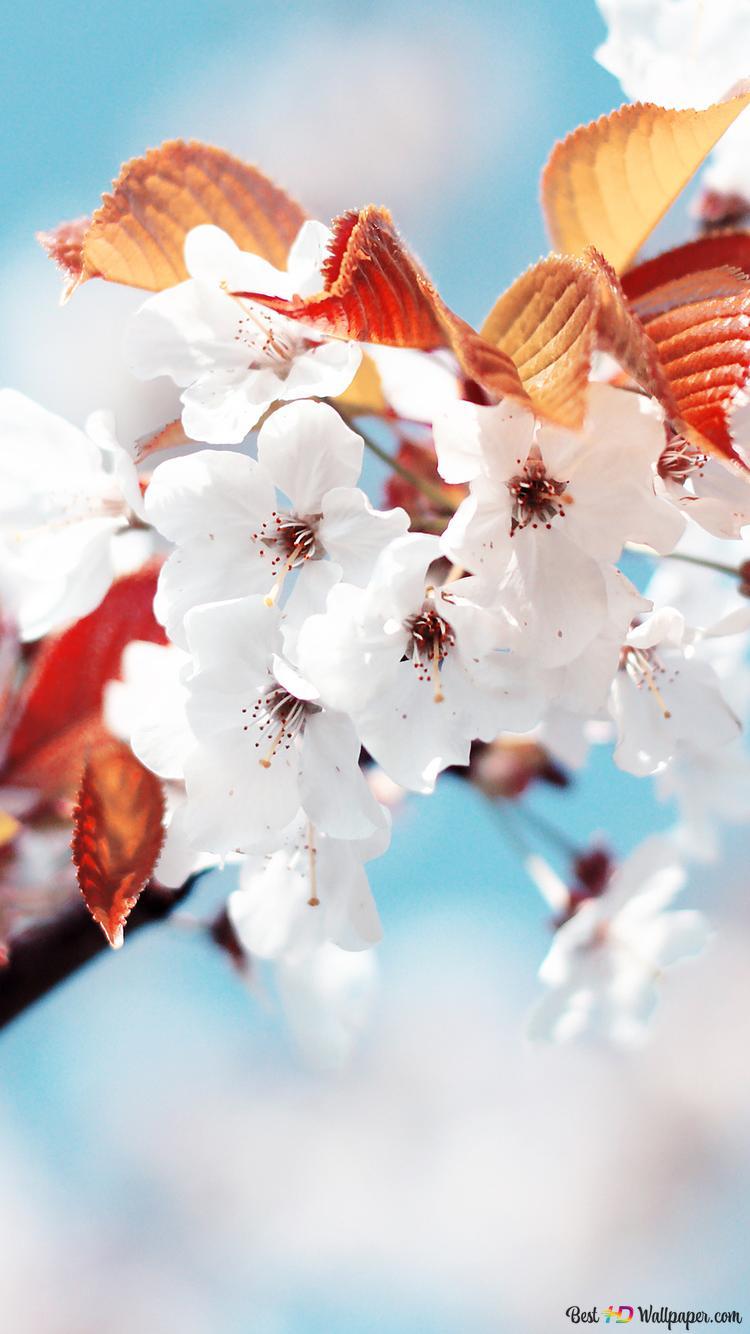 Fleurs De Cerisier Blanches Sur La Branche Hd Fond D Ecran Telecharger