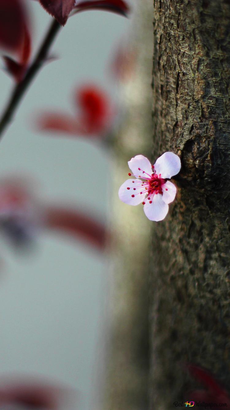 Fleurs De Cerisier Hd Fond D Ecran Telecharger