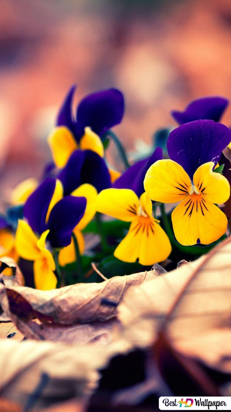 Fleurs Pansies à L Automne Hd Fond D écran Télécharger