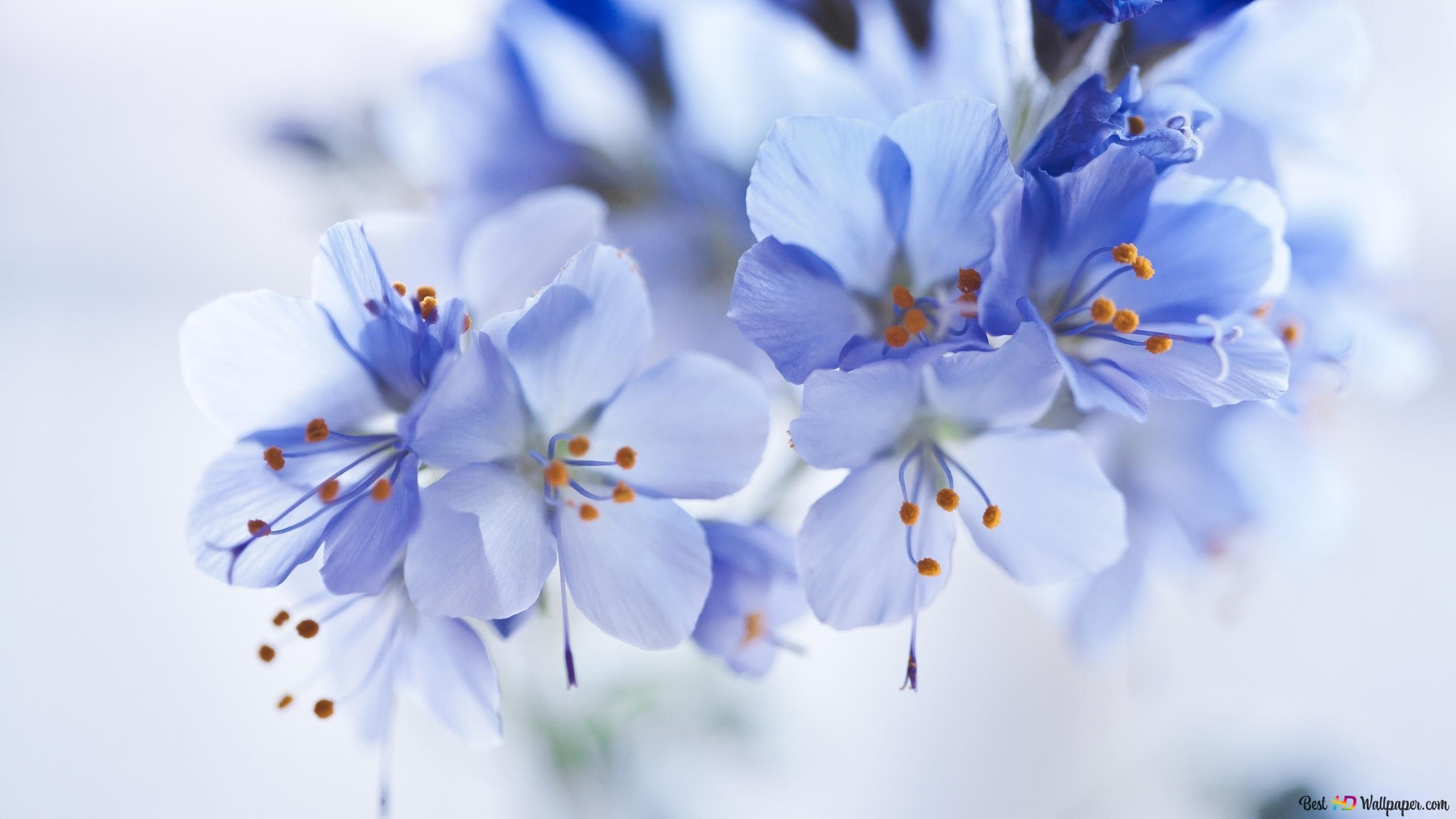 Fondo Flores Azules Hd