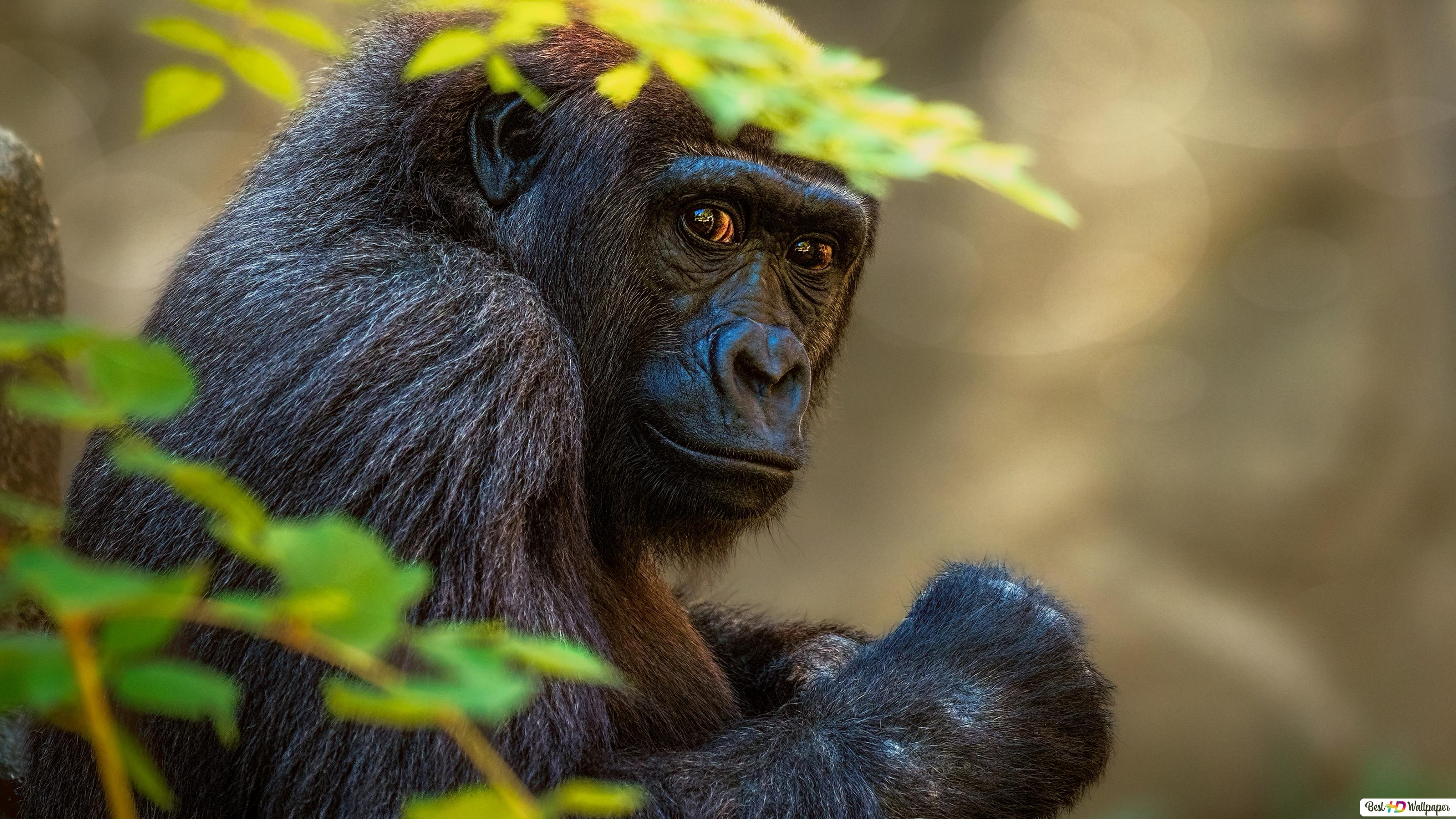 Gorilla Hd Wallpaper Download