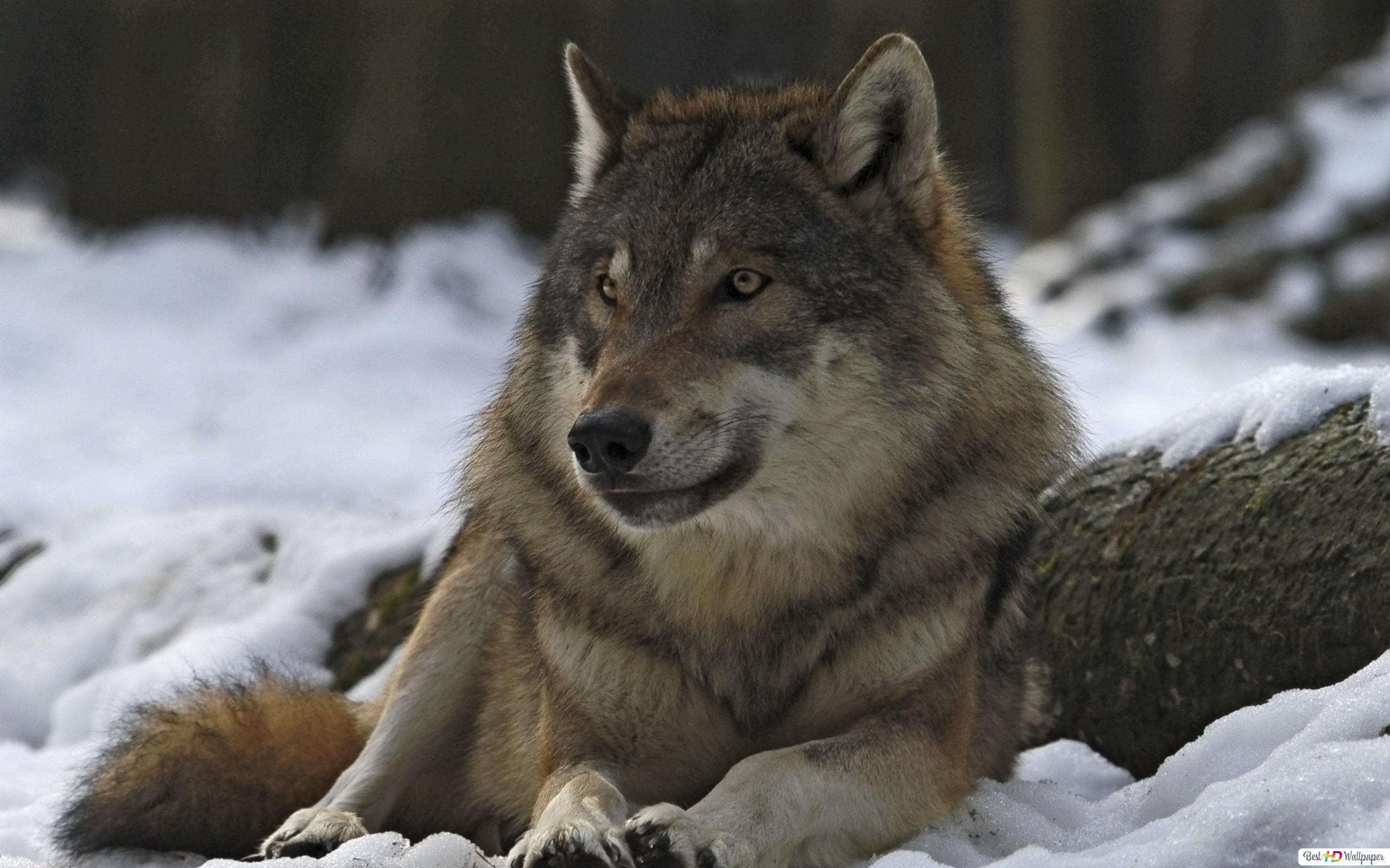 Wolf Bilder Zum Herunterladen - Kostenlos zum Ausdrucken