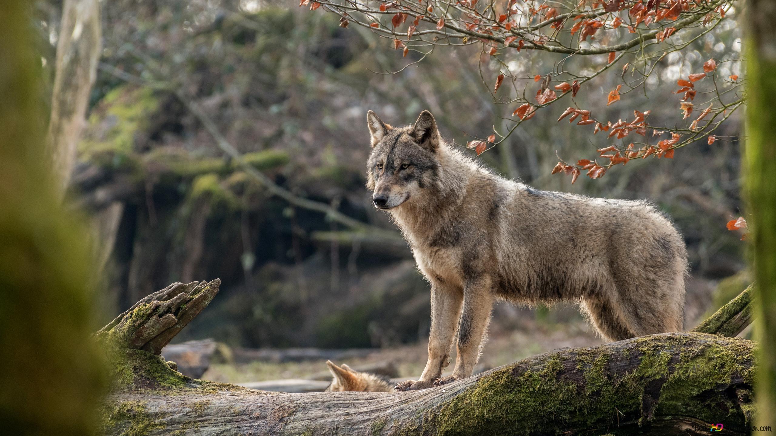 Gray wolf HD wallpaper download