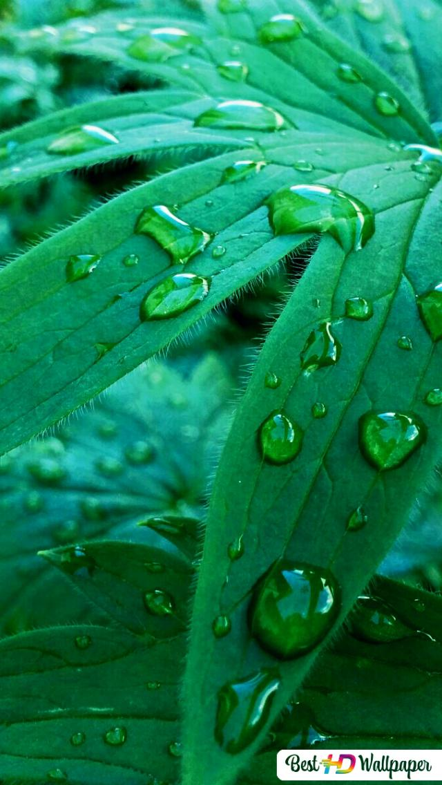 Green Leaf Rain Drop Hd Wallpaper Download