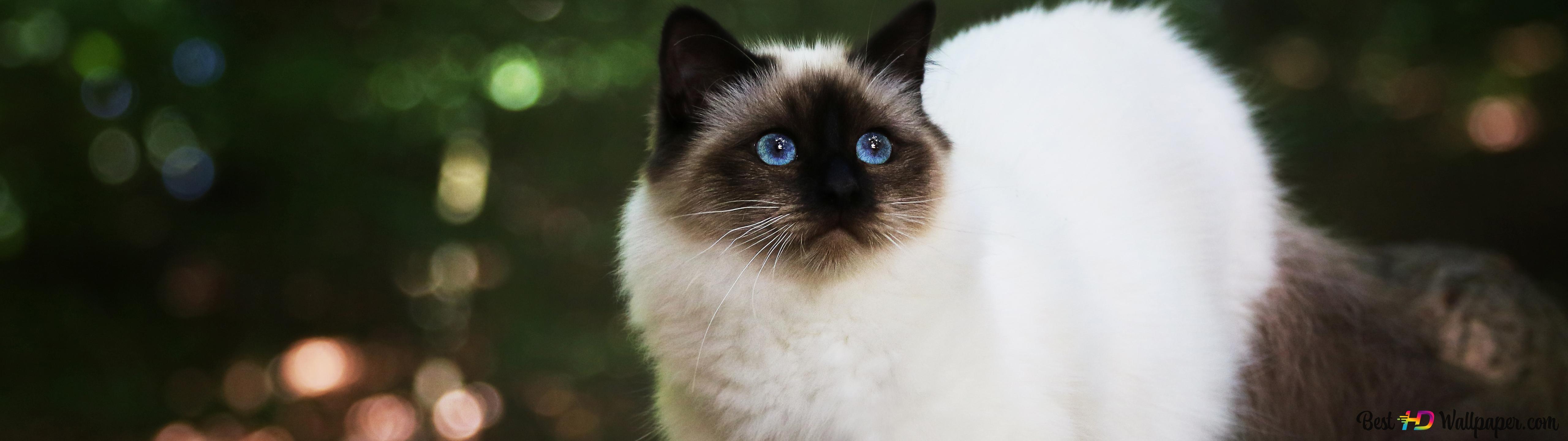Himalayan Blue Eyed Cat Hd Wallpaper Download