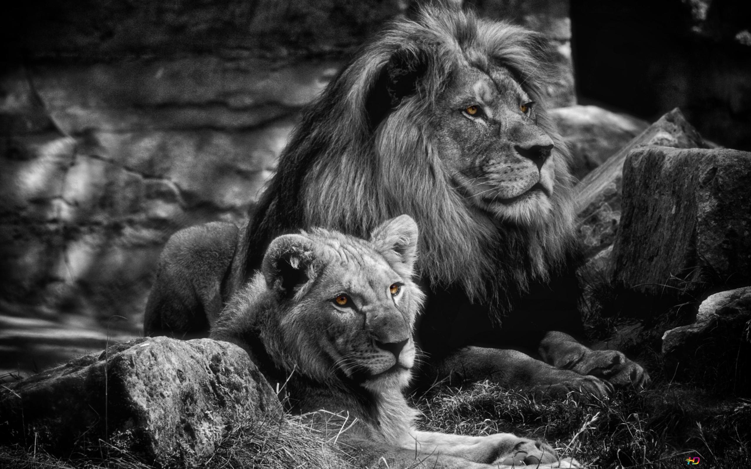 Homme Et Femme Lion Hd Fond Décran Télécharger