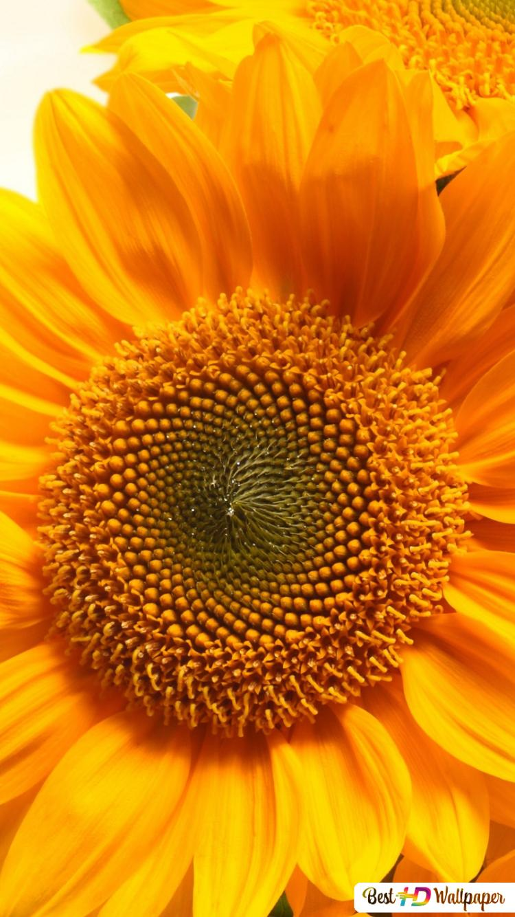 Incredibile Girasole View Download Di Sfondi Hd
