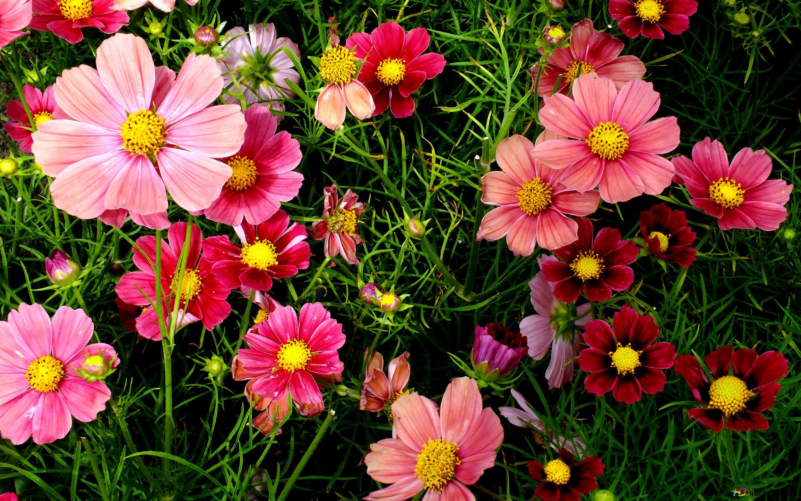 カラフルなコスモスの花の庭 Hd壁紙のダウンロード