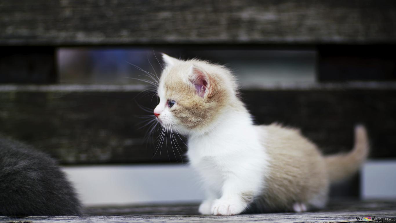 かわいい白猫 Hd壁紙のダウンロード