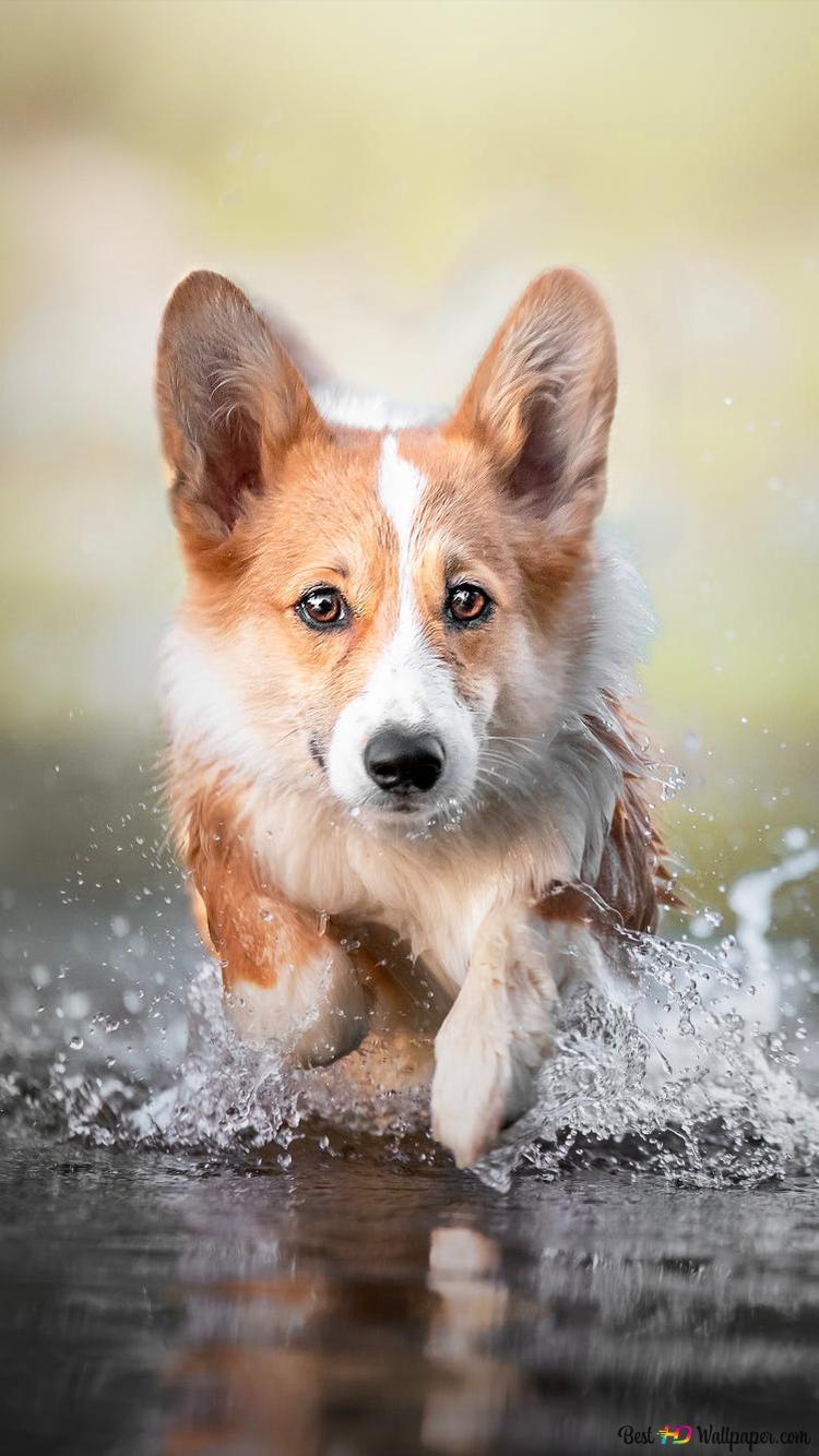 コーギー犬 Hd壁紙のダウンロード