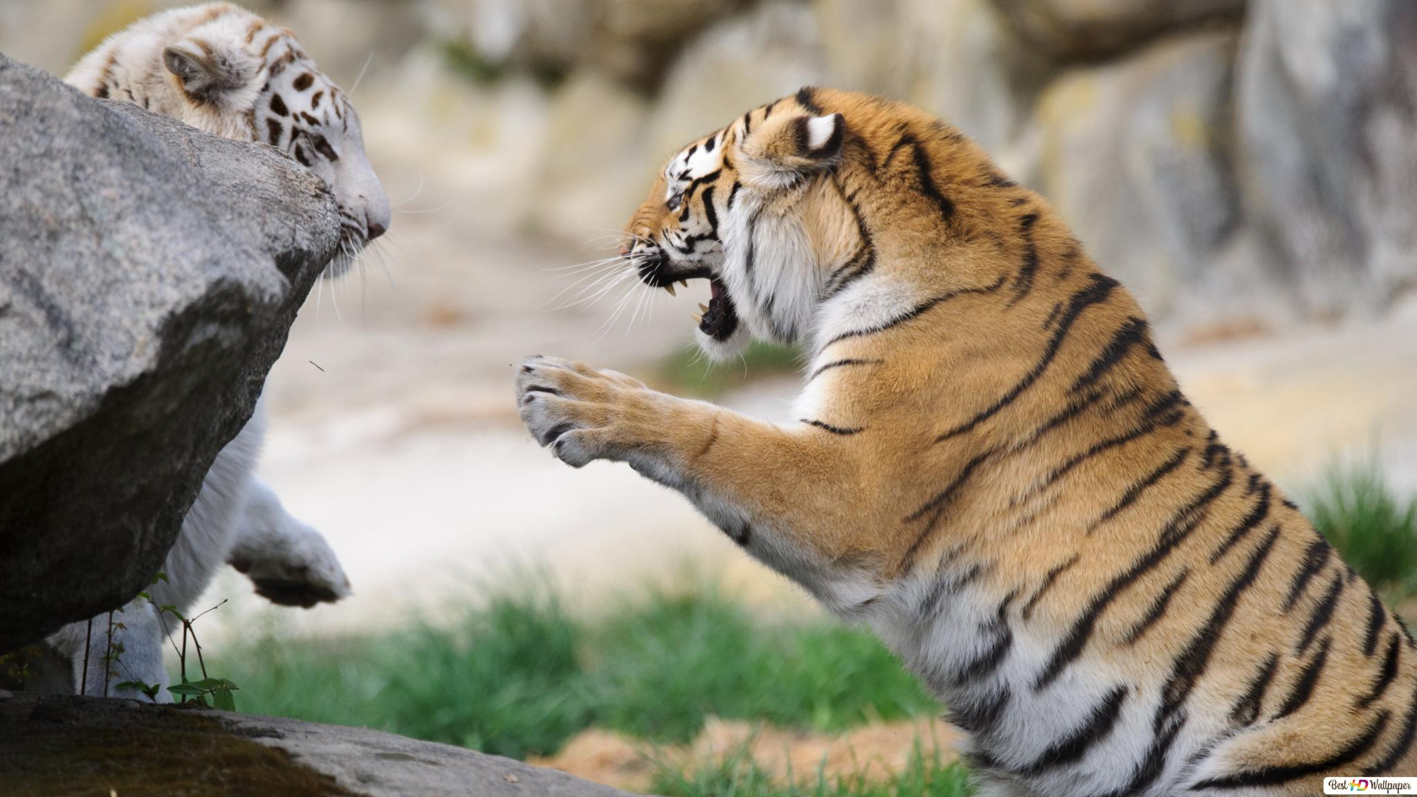 Descargar Fondo De Pantalla La Lucha Contra Tigres Salvajes Hd