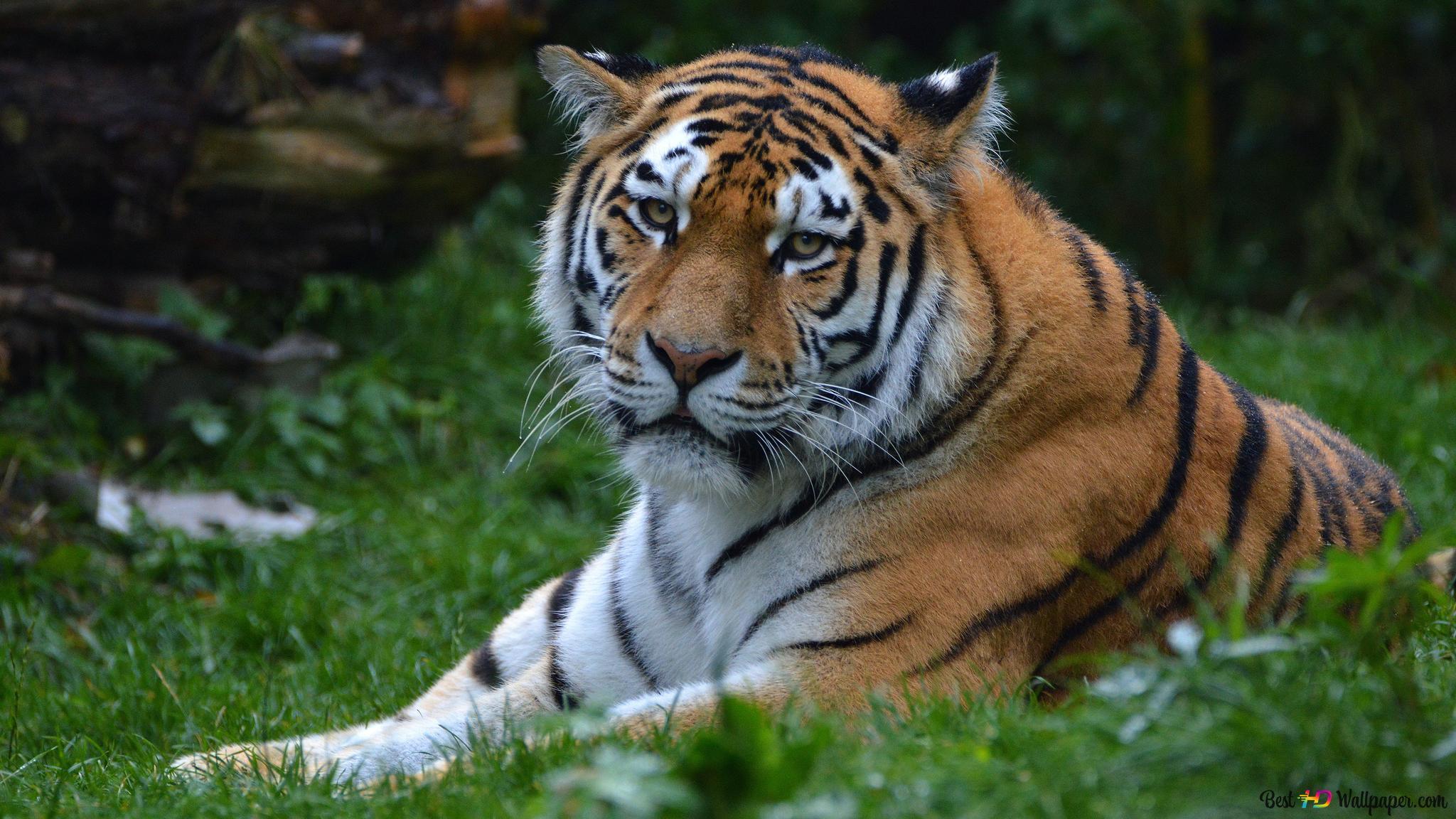Descargar Fondo De Pantalla La Mirada De Tigre Hd