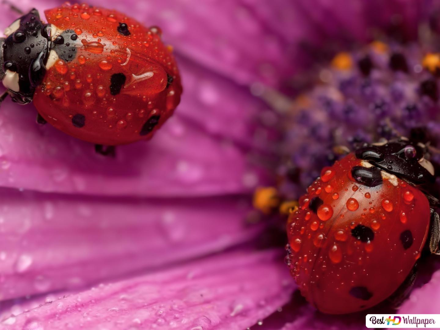 ladybug in the flower hd wallpaper download