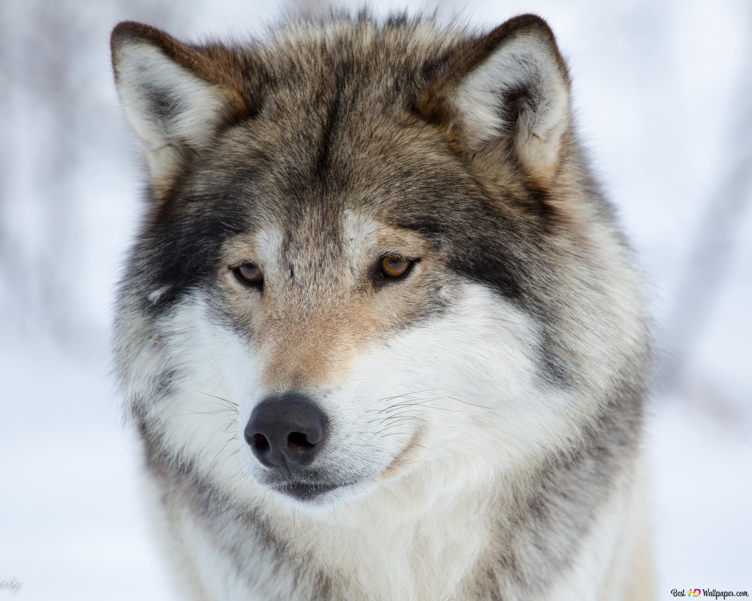 狼 Hd壁紙のダウンロード