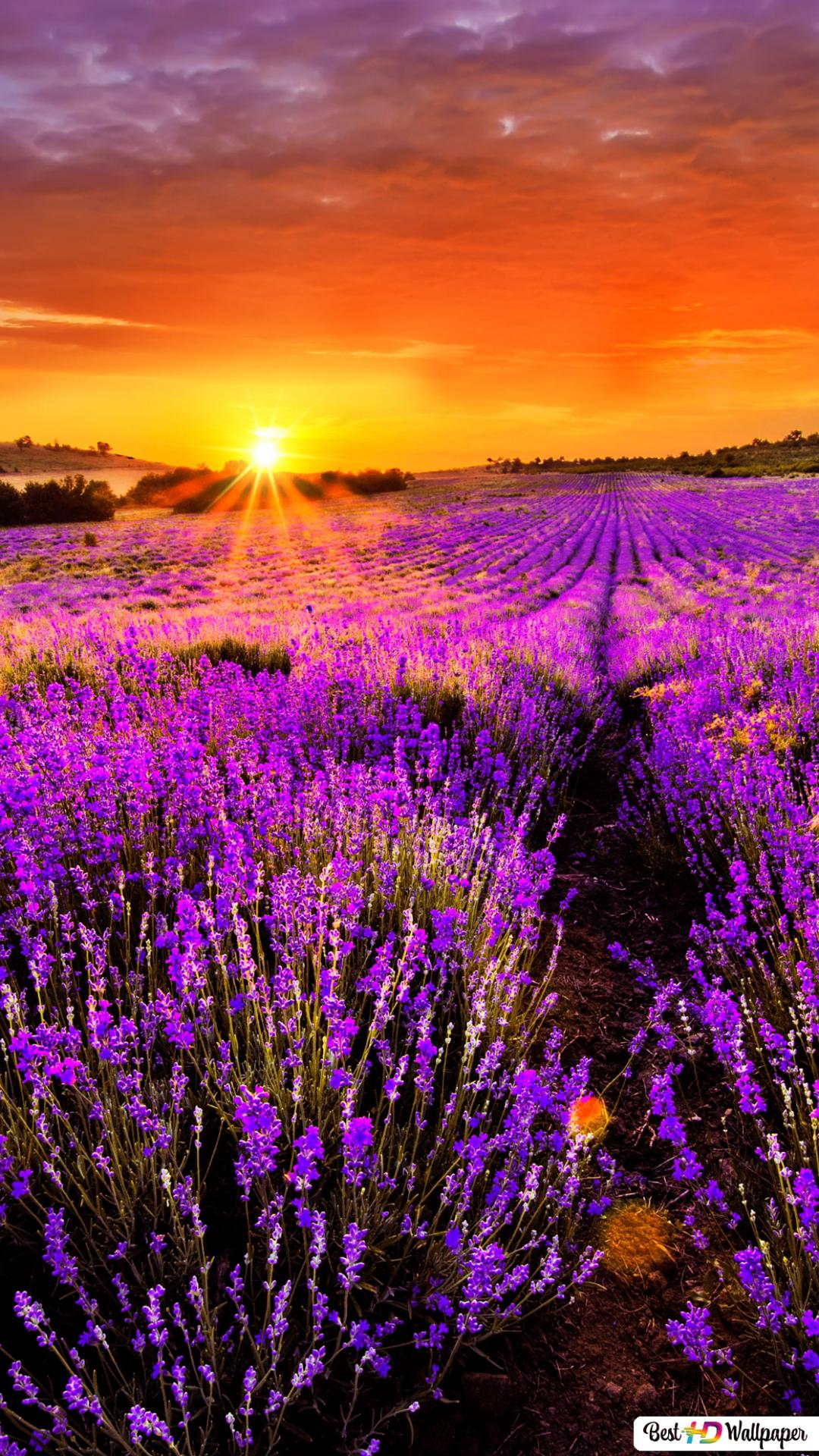 lavender field at sunset wallpaper 1080x1920 28211 165
