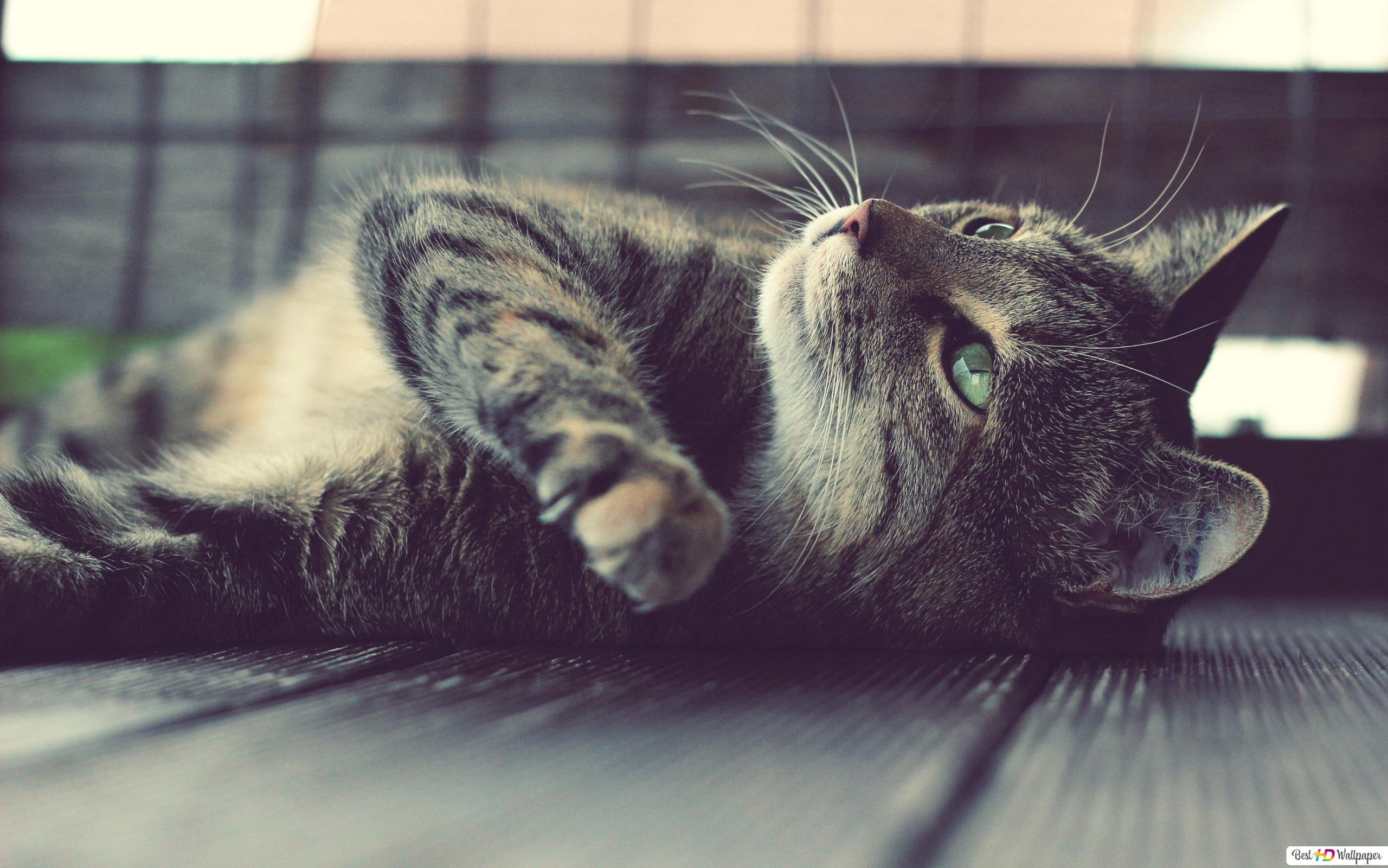 Laying Down Cat Hd Wallpaper Download